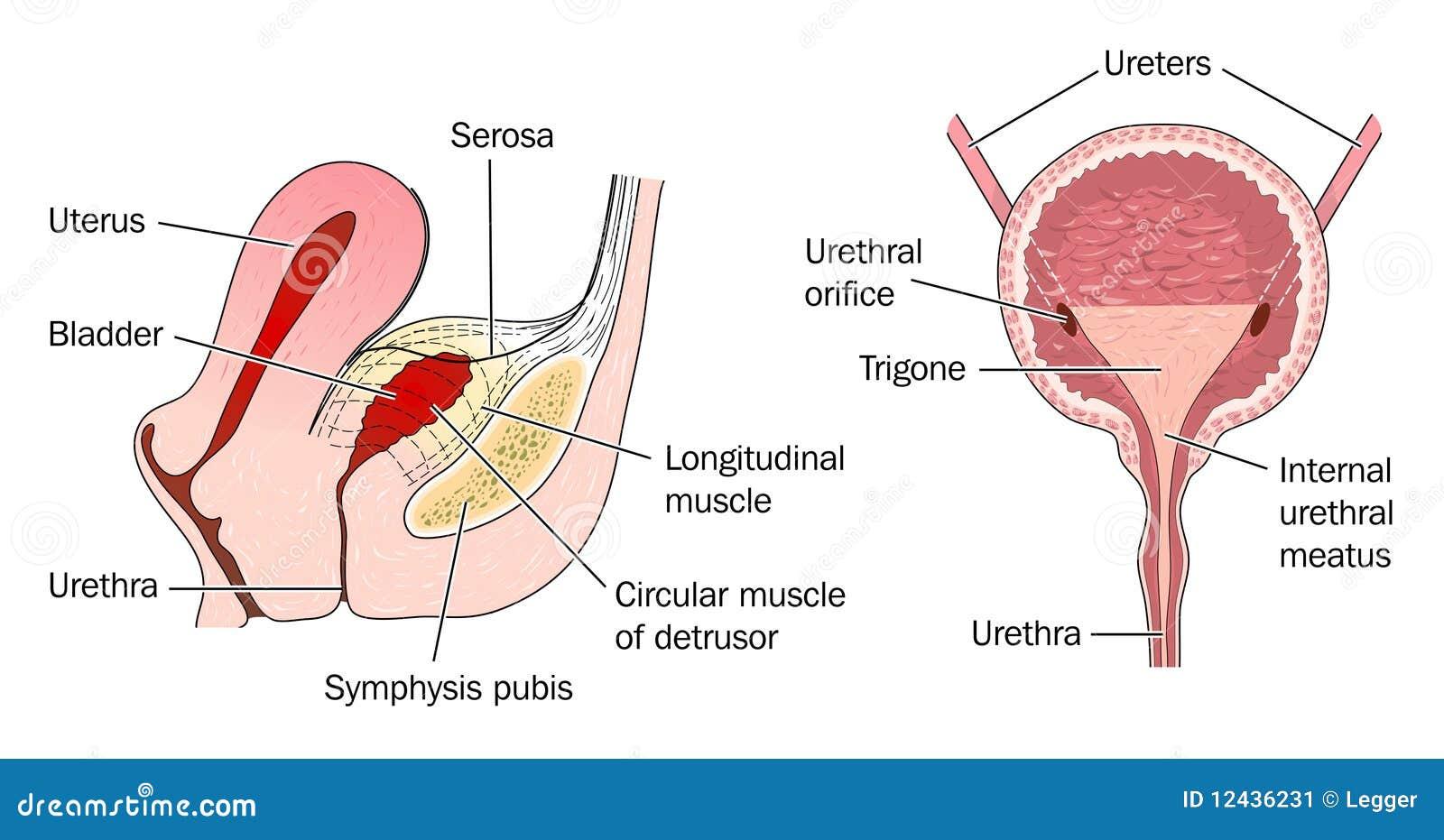 Moderno Anatomía Aplicada De útero Galería - Imágenes de Anatomía ...