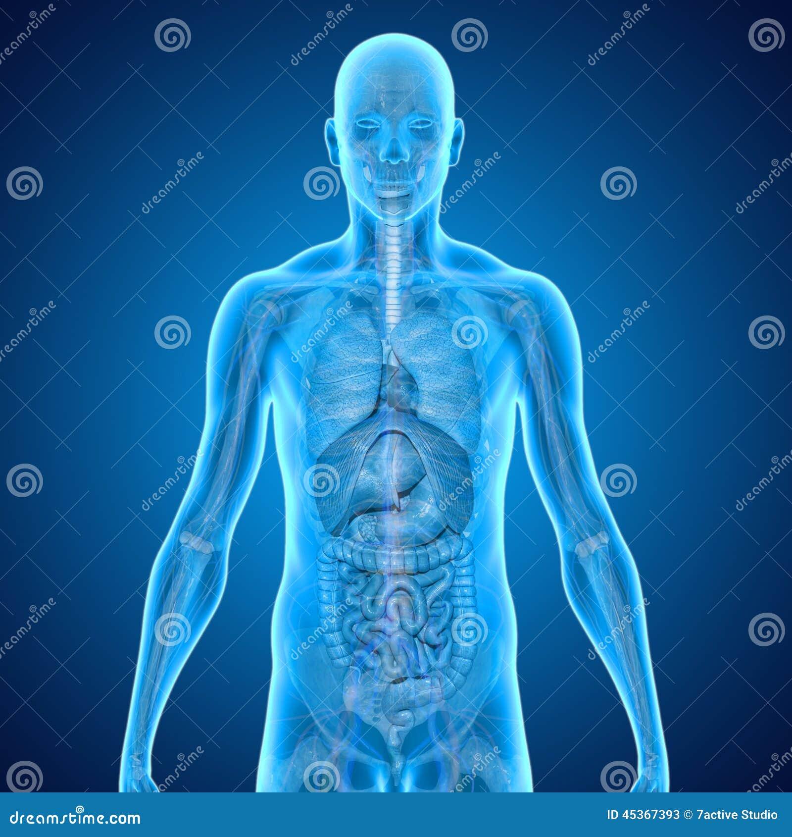 Anatomia Humana Ilustração Stock Ilustração De Músculo
