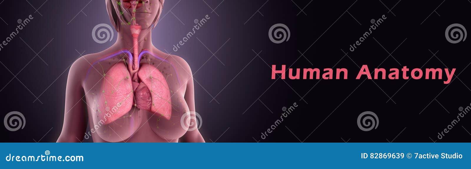 Anatomia Humana Ilustração Stock Ilustração De Pulmões