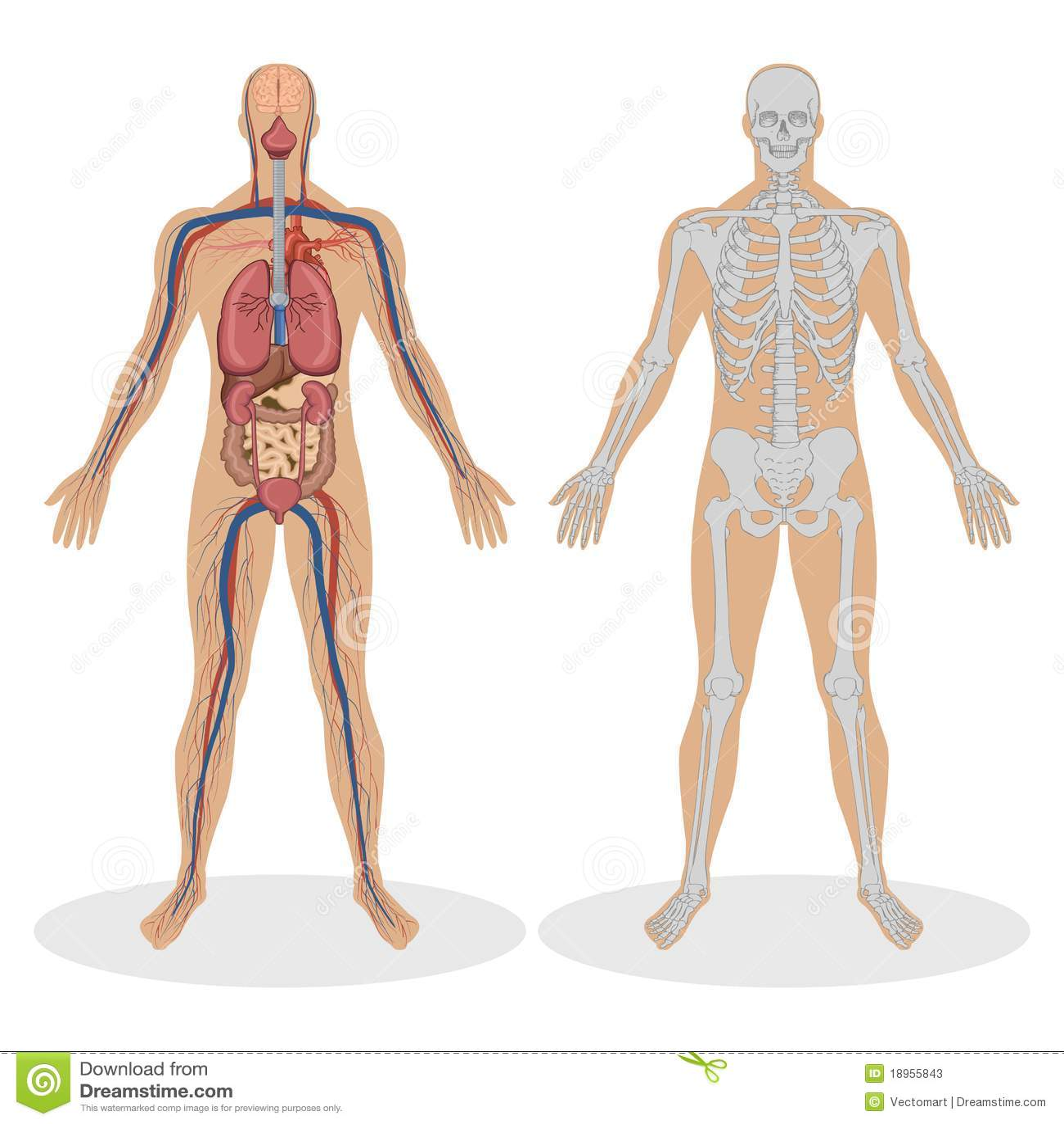 Anatomia humana do homem