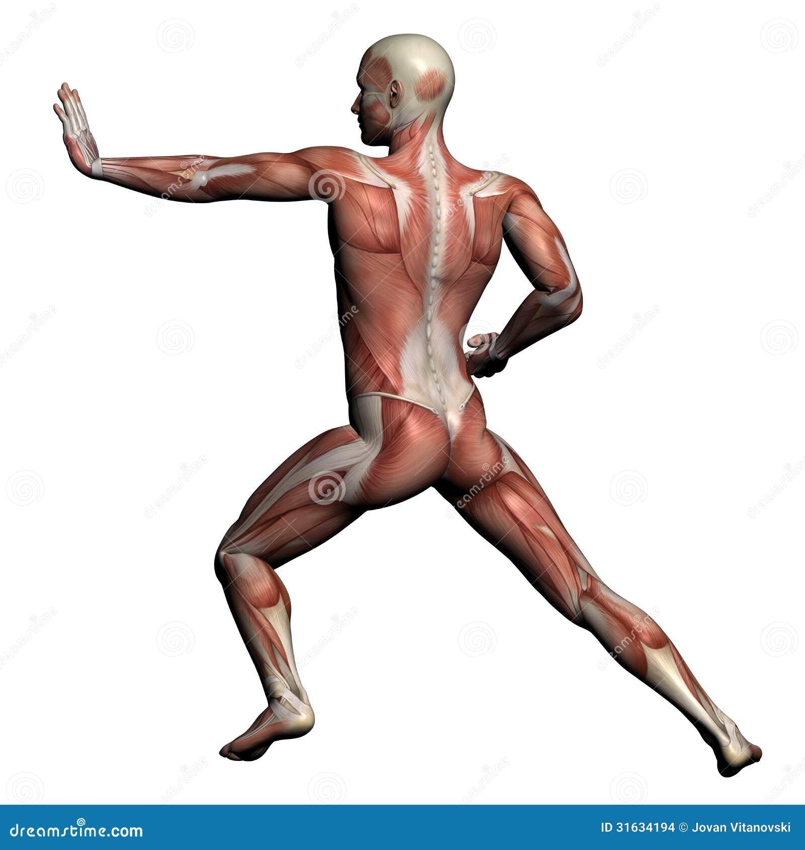 Asombroso Anatomía Muscular 3d Elaboración - Anatomía de Las ...