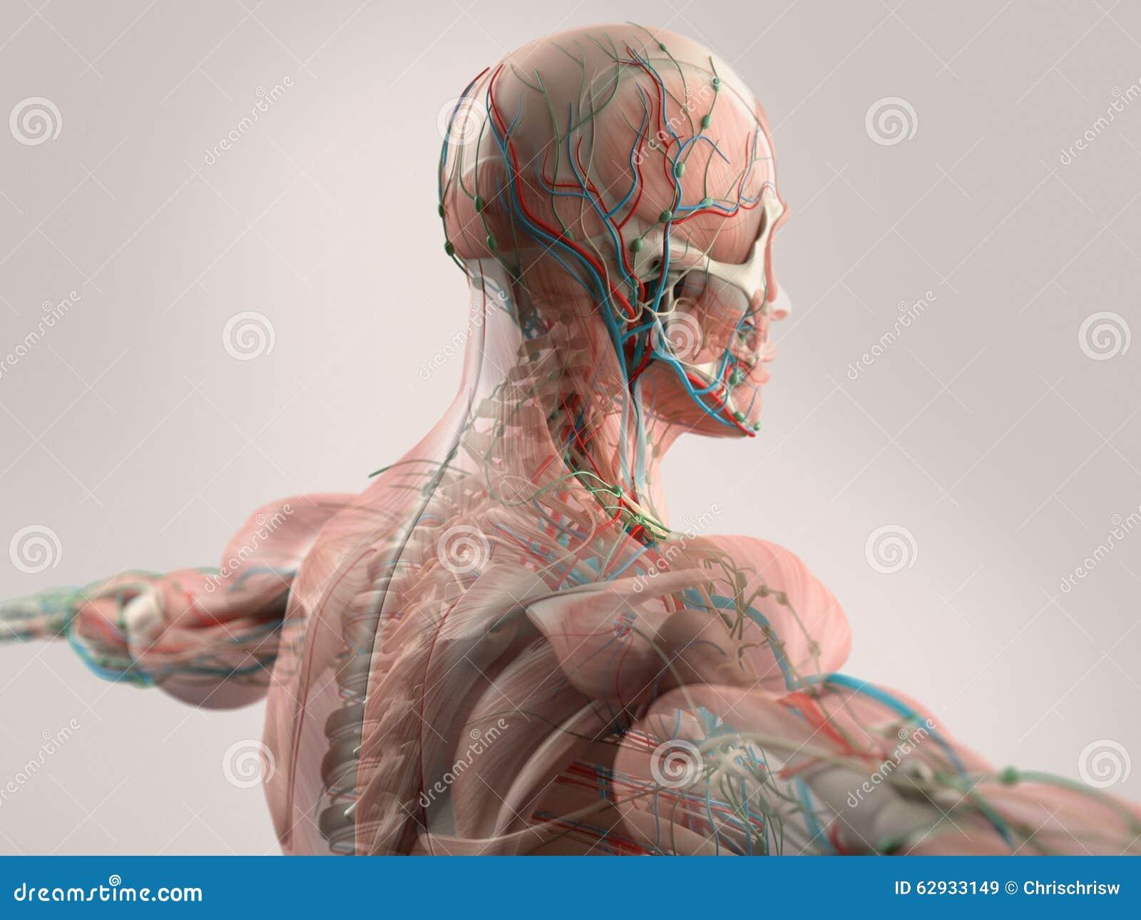 Anatomia Humana Que Mostra A Cara A Cabeça Os Ombros E A