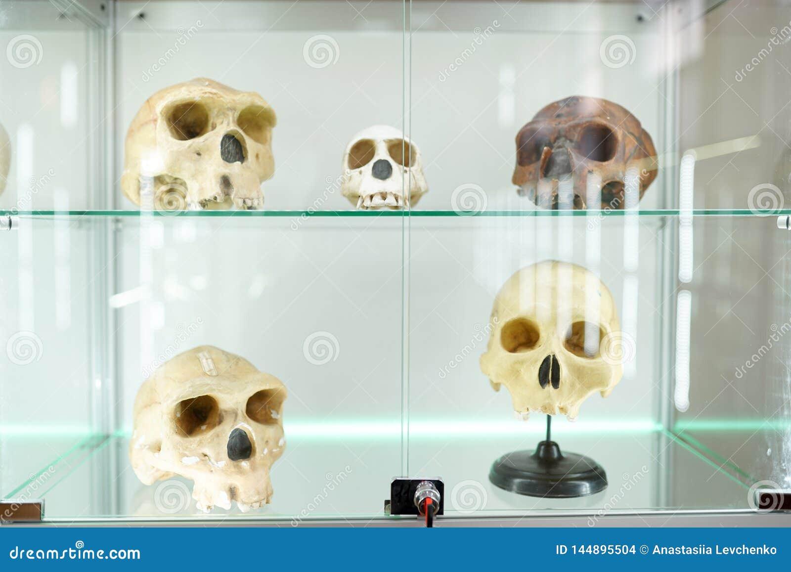 Anatomia umana dei crani parte del corpo umano su fondo leggero museo di scienza medica