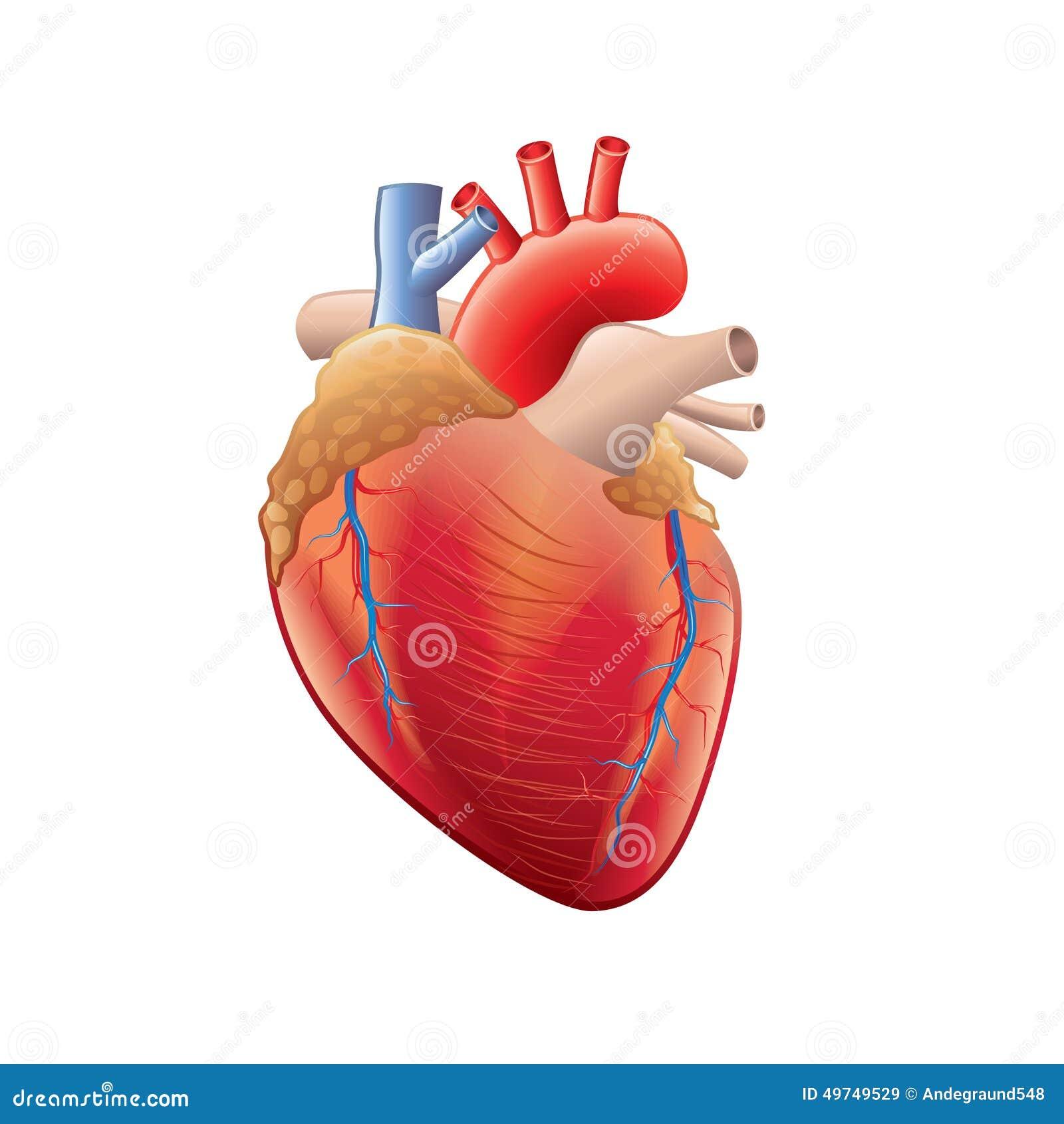 Anatomia Cuore Immagini - il cuore e il sistema..