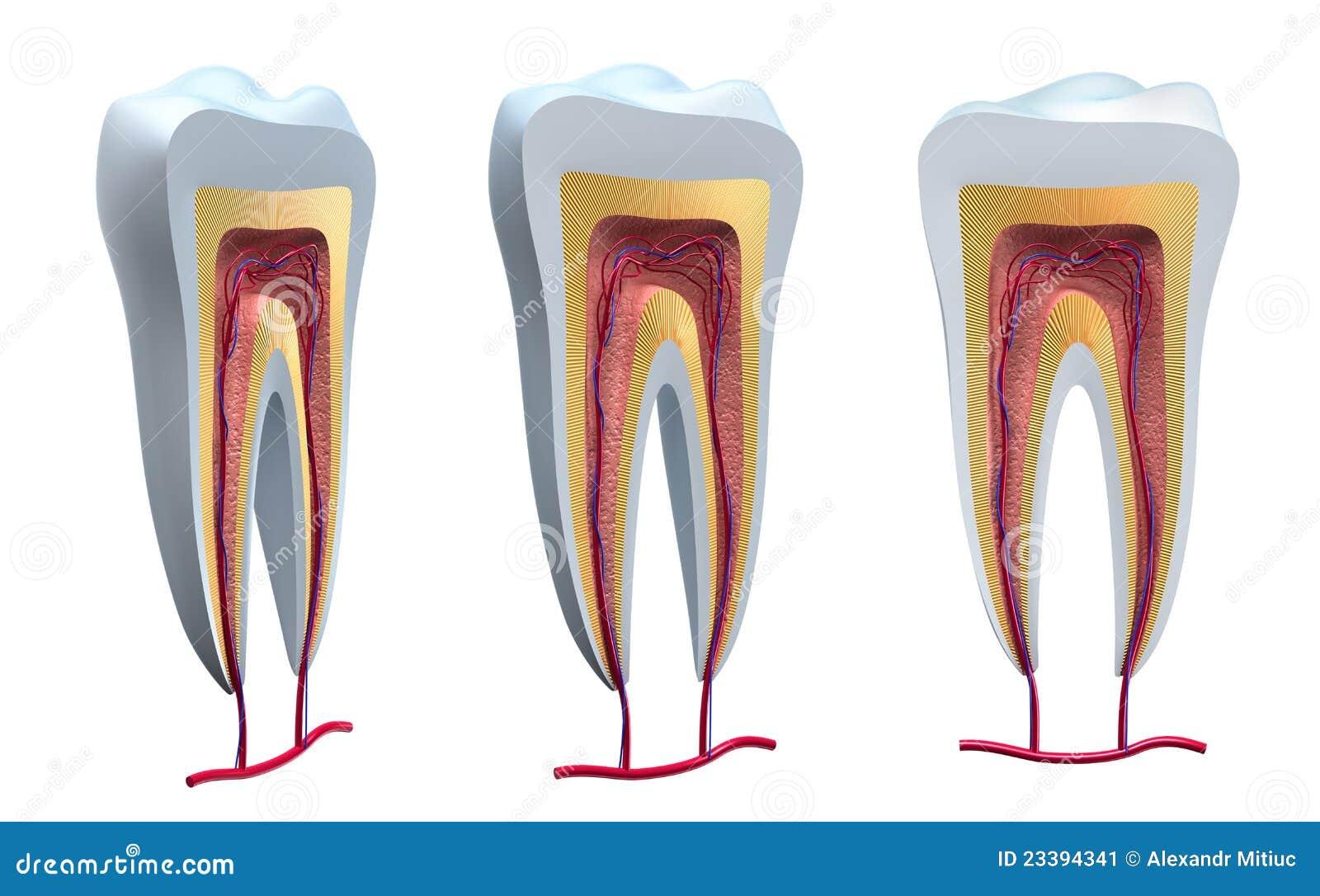 Anatomia wyszczególnia zdrowych zęby