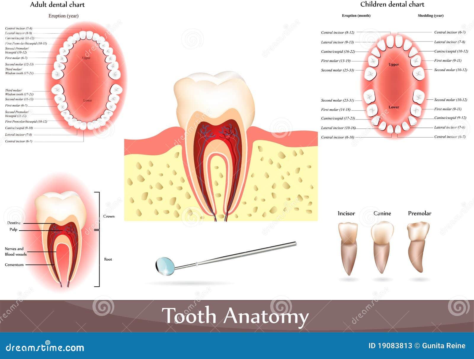 Anatomia ząb