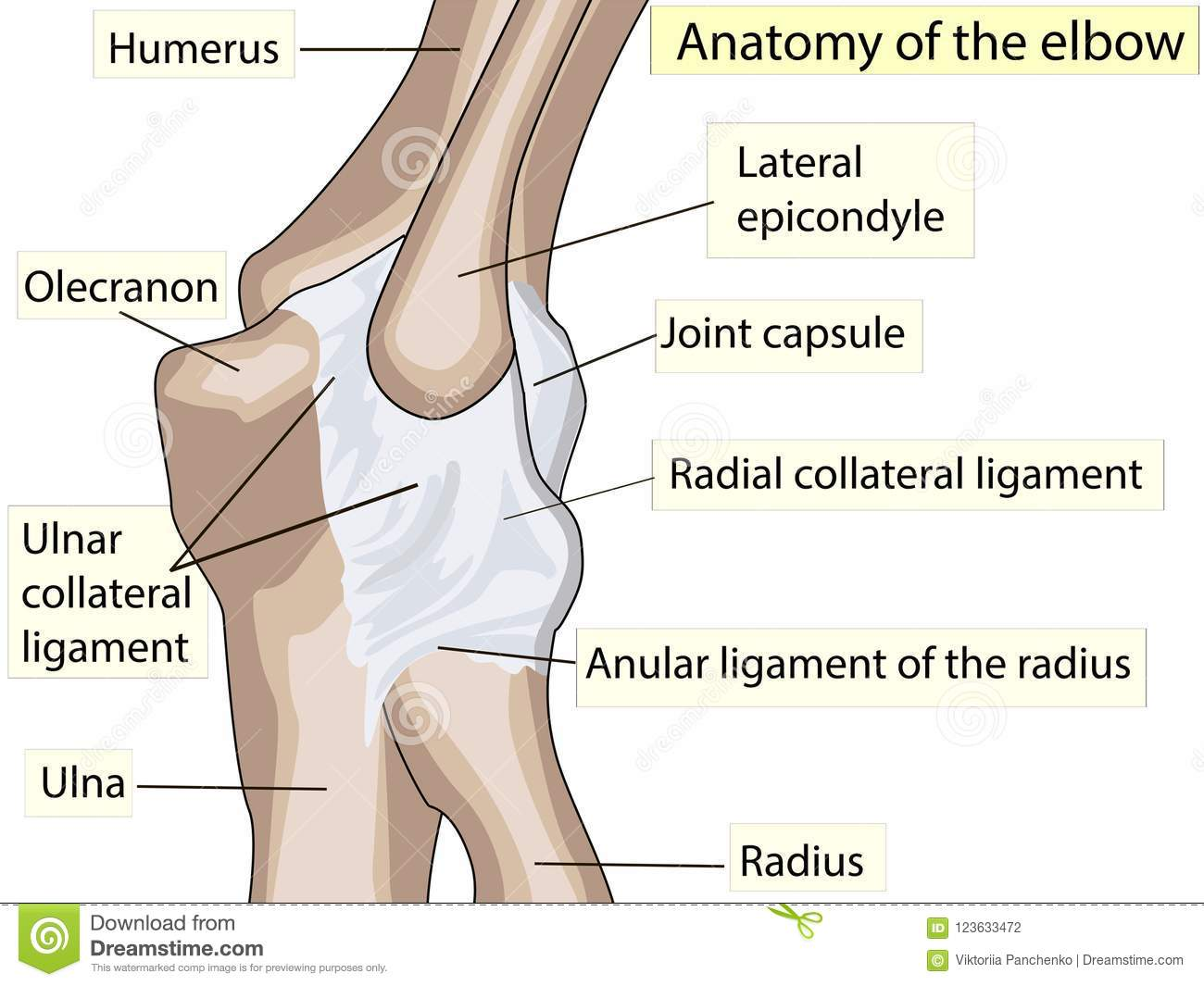 Human Elbow Joint Topsimages
