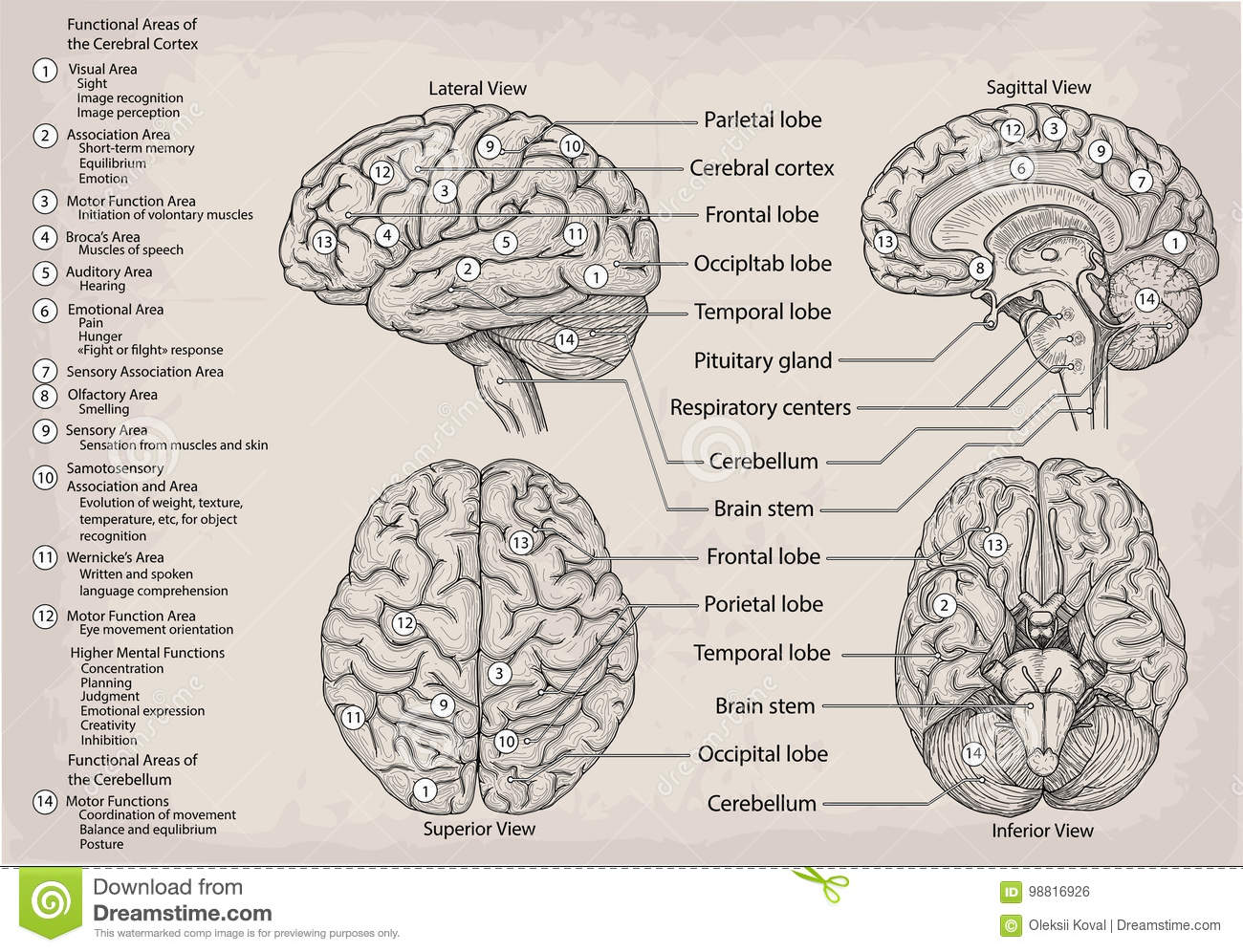Anatomical Diagram Of Human Brain. Medicine, Vector Illustration ...