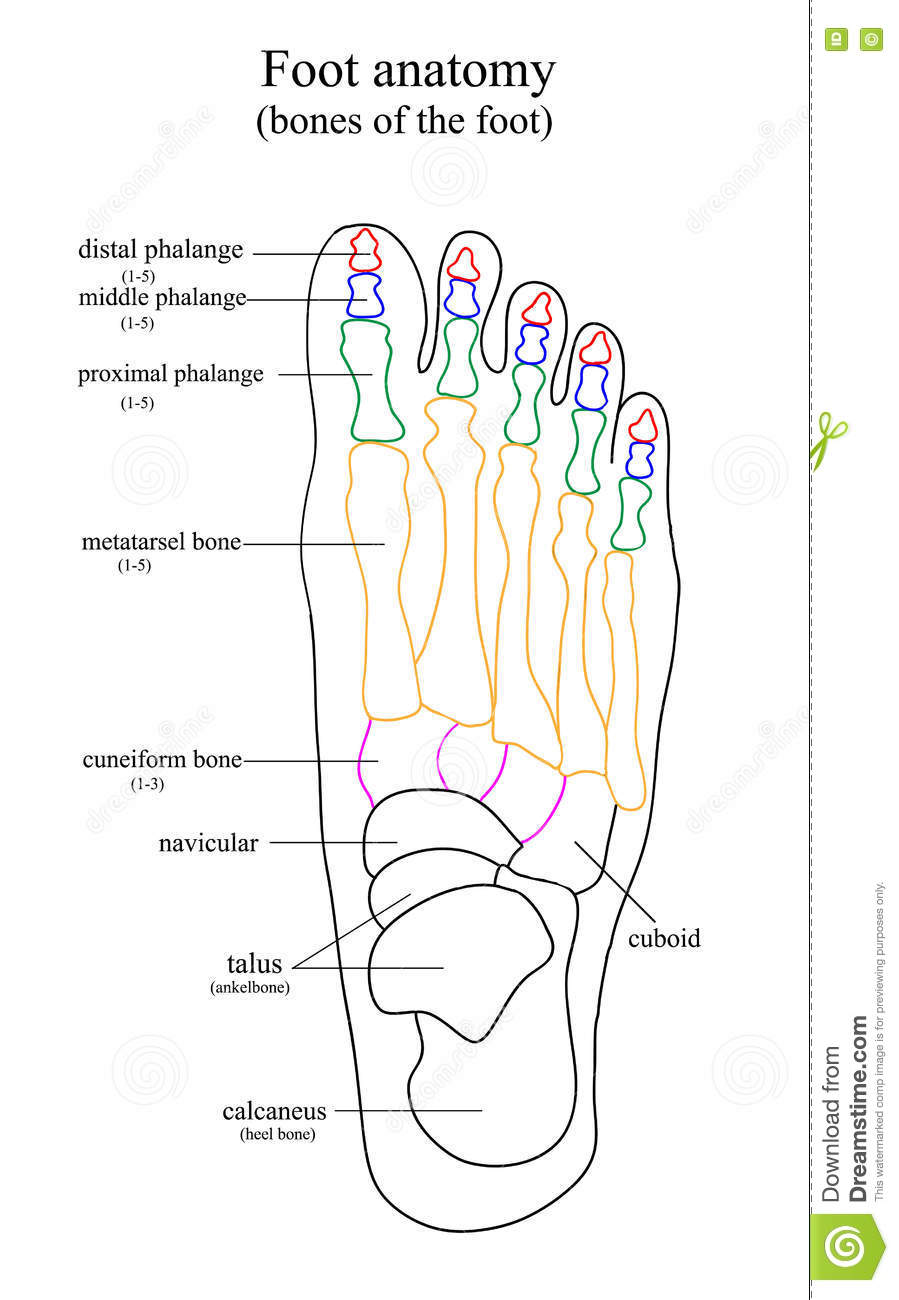 Anatomical Drawing Of The Foot Stock Vector Illustration Of