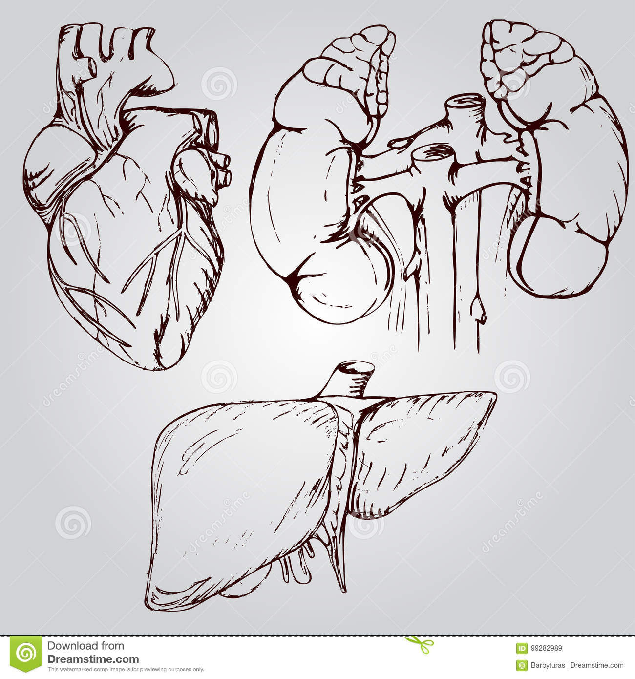 Anatomical Drawing Of Heart Liver And Kidneys Stock Vector