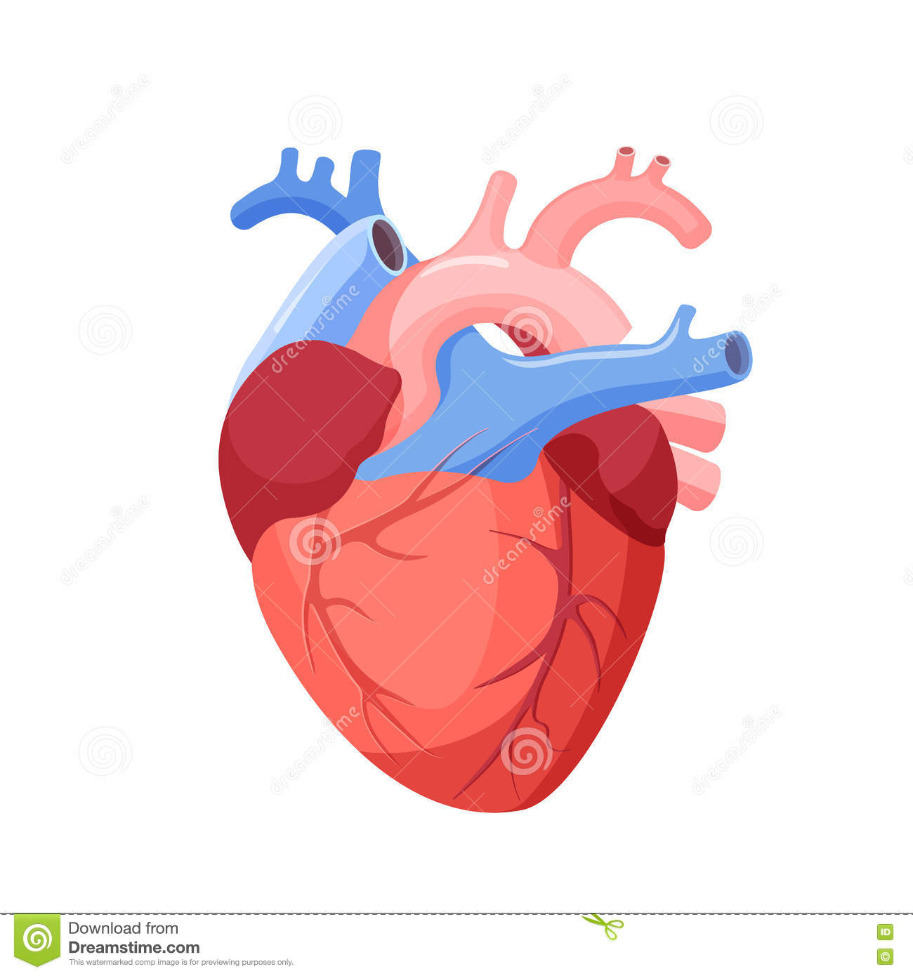 Anatomical Heart Isolated. Muscular Organ In Human Stock Vector ...