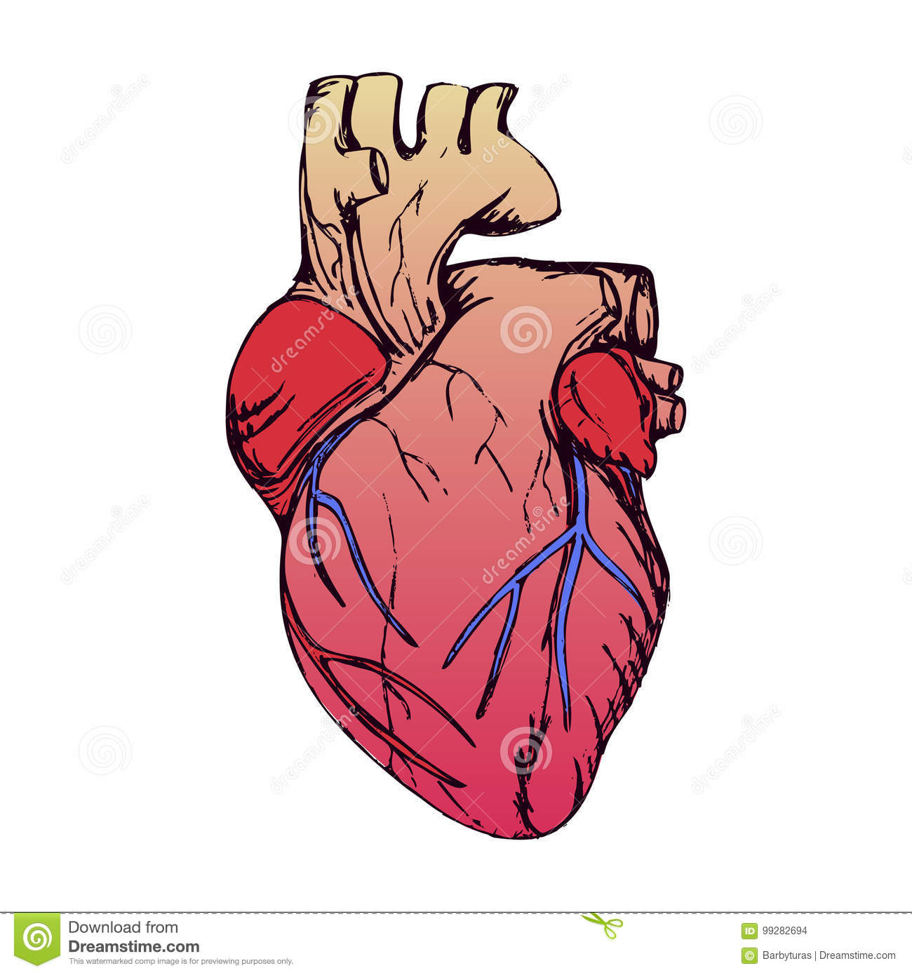 Anatomical Heart Isolated On White Grunge Stile Stock Vector