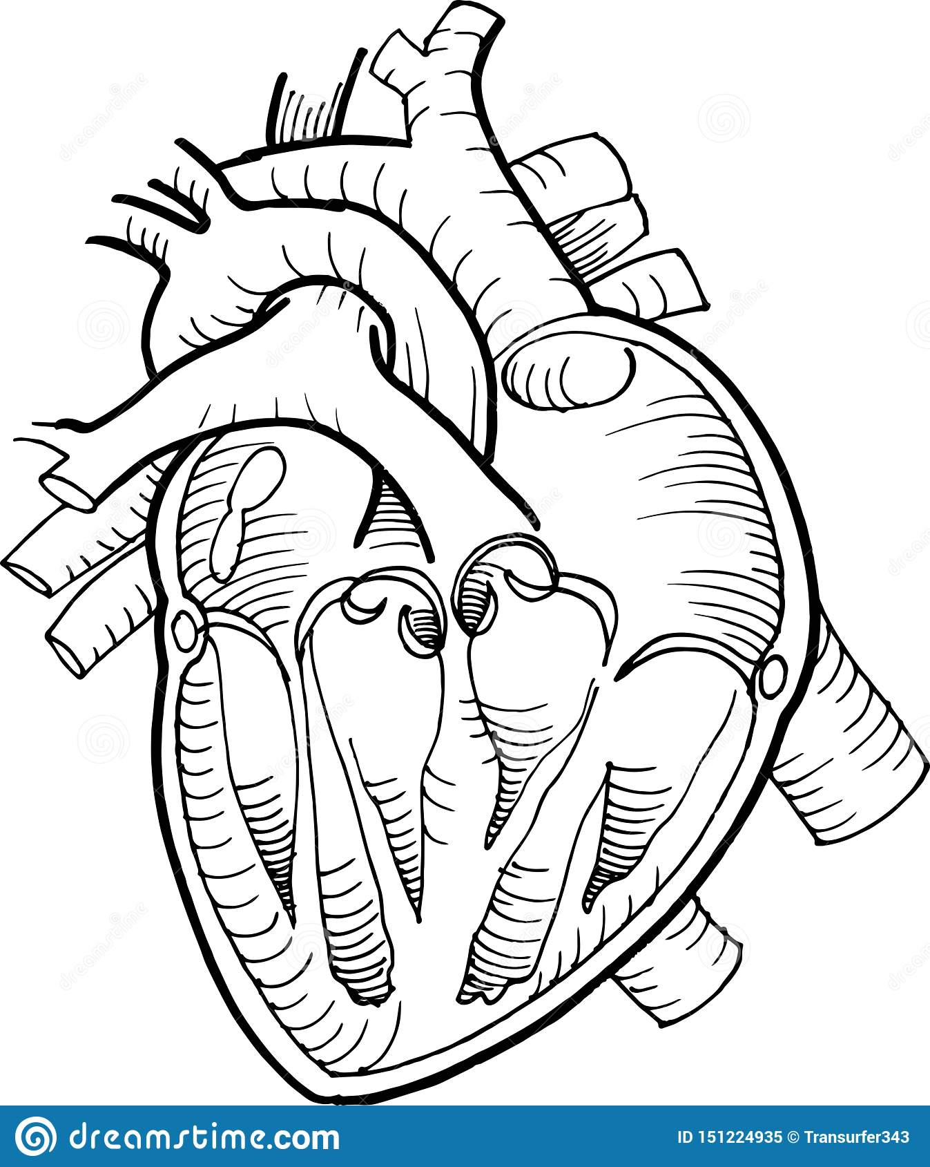 Anatomical human heart drawing with black pencil line stock