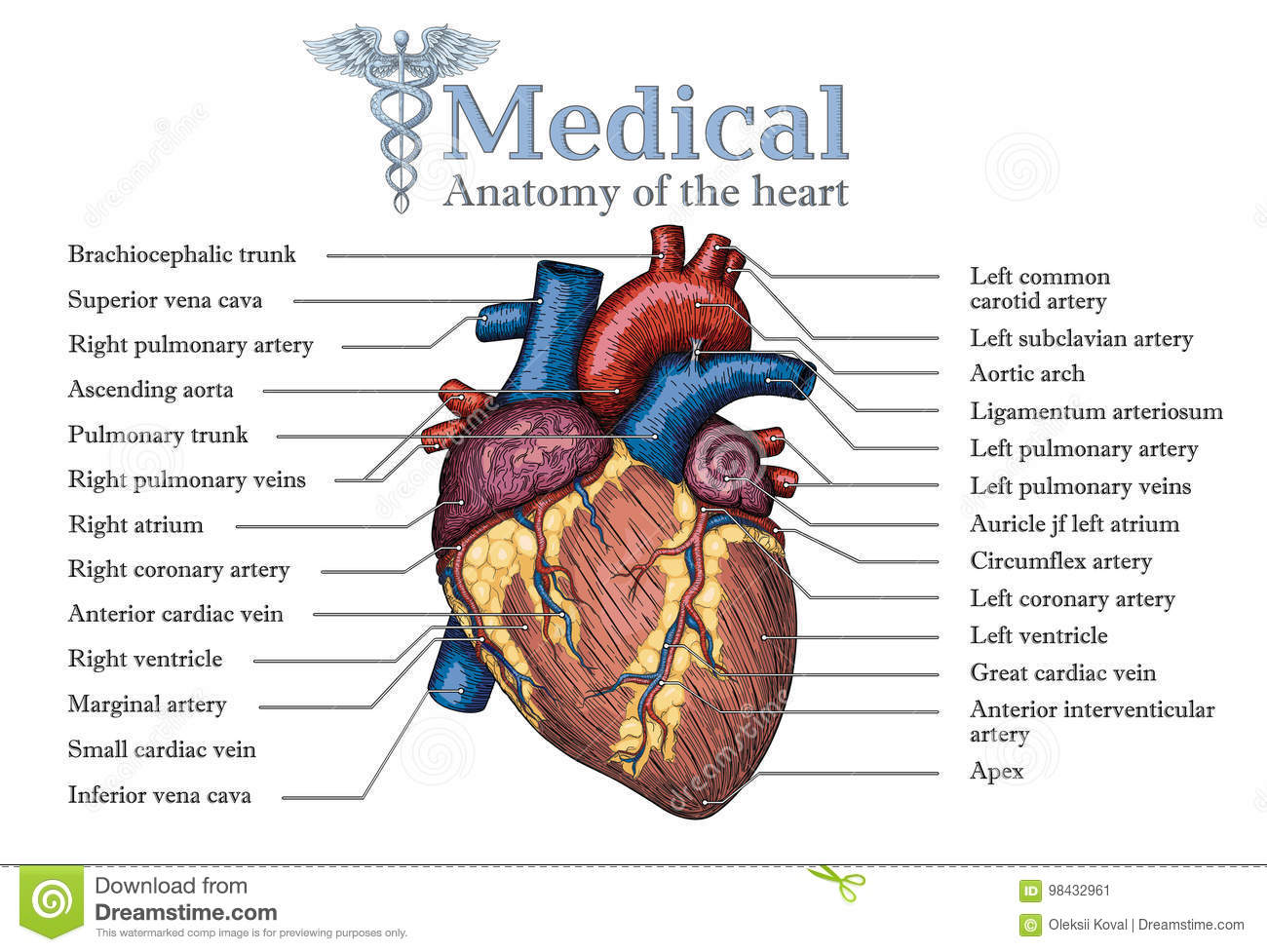 Anatomical Human Heart Hand Drawn Poster With Inscription Of Ve