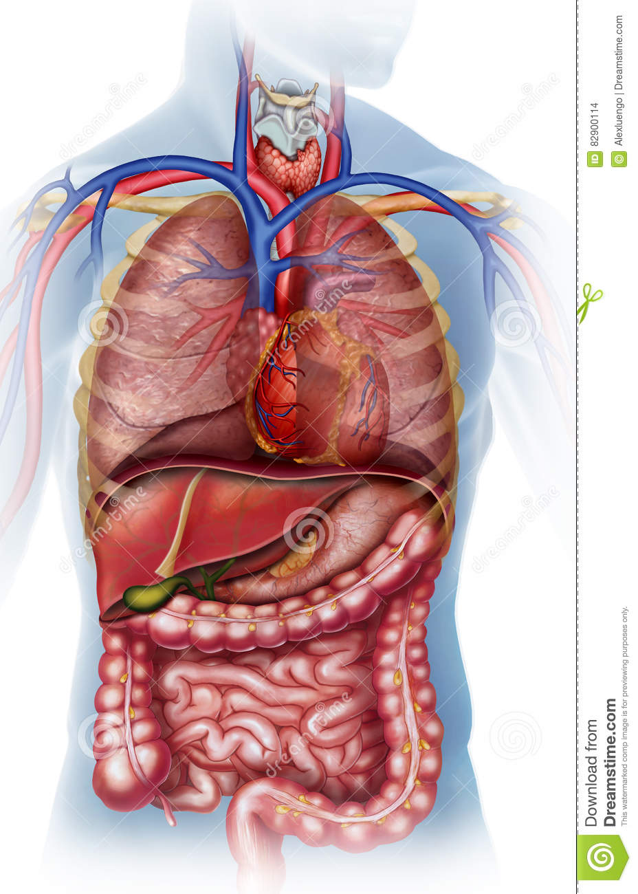 Anatomical Illustration Of The Human Body Stock Illustration ...