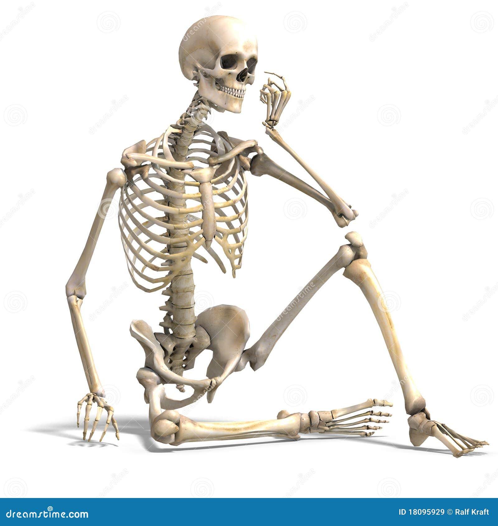 Anatomical korrekt male skelett