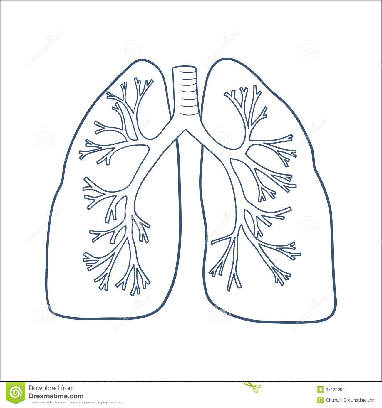 Anatomical Lungs Isolated On White. Stock Vector - Illustration Of Emergency Medicine 37128298