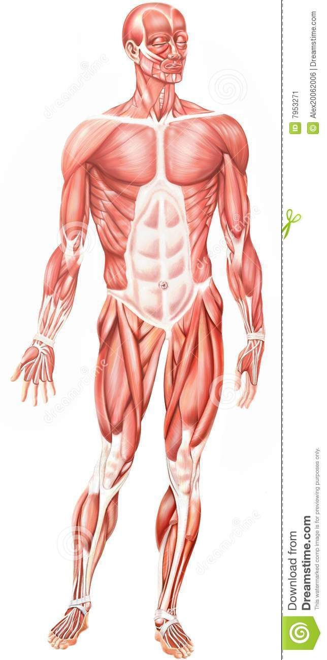 Anatomical man stock illustration. Illustration of musculature - 7953271
