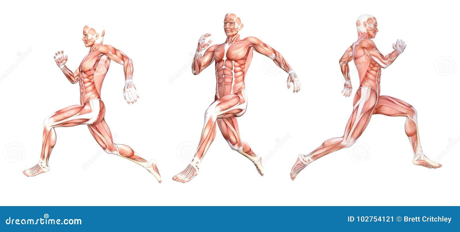 Anatomical Man Running Muscles Stock Illustration - Illustration of ...