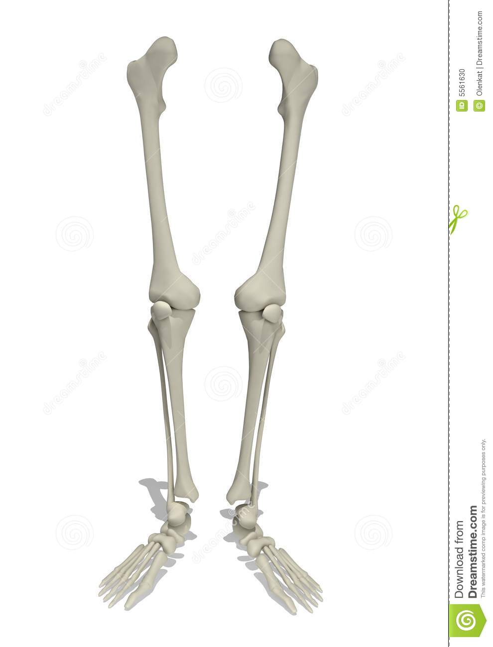 Anatomical Model Of Human Legs Stock Illustration Illustration Of