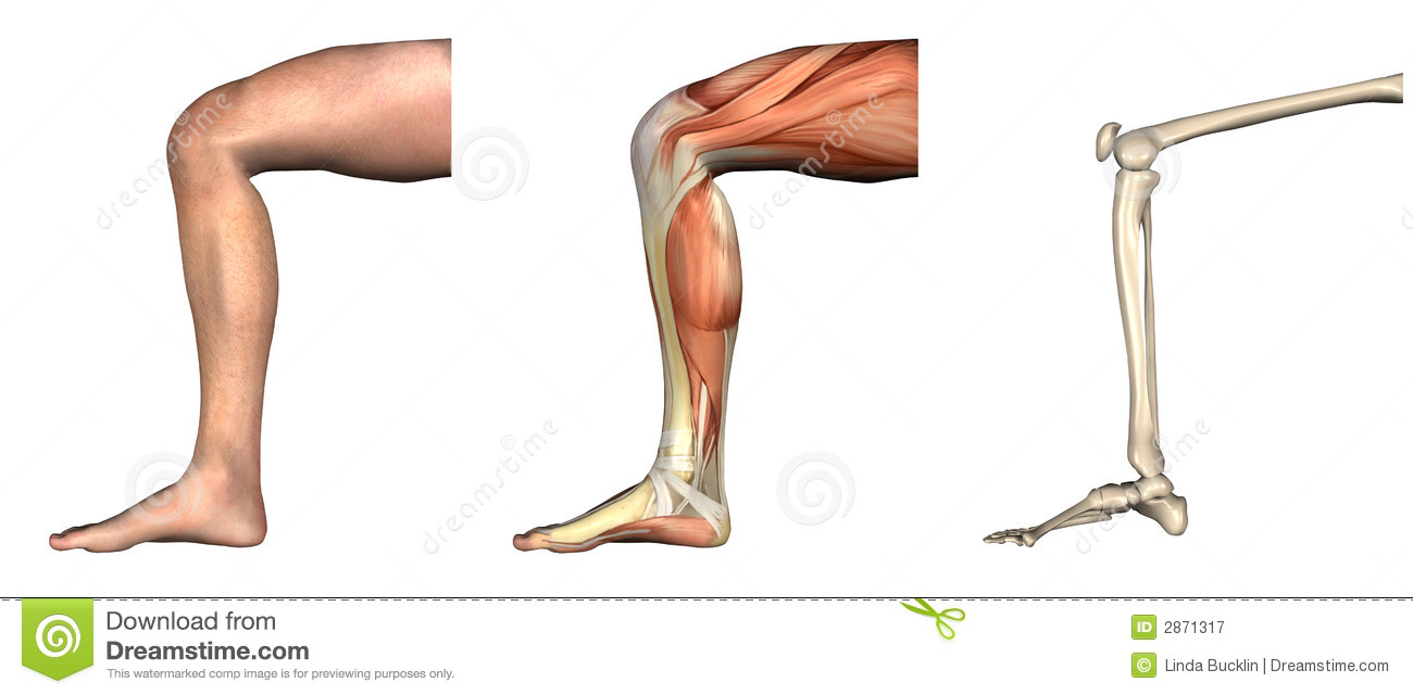 anatomical overlays -bent knee royalty free stock photography, Muscles