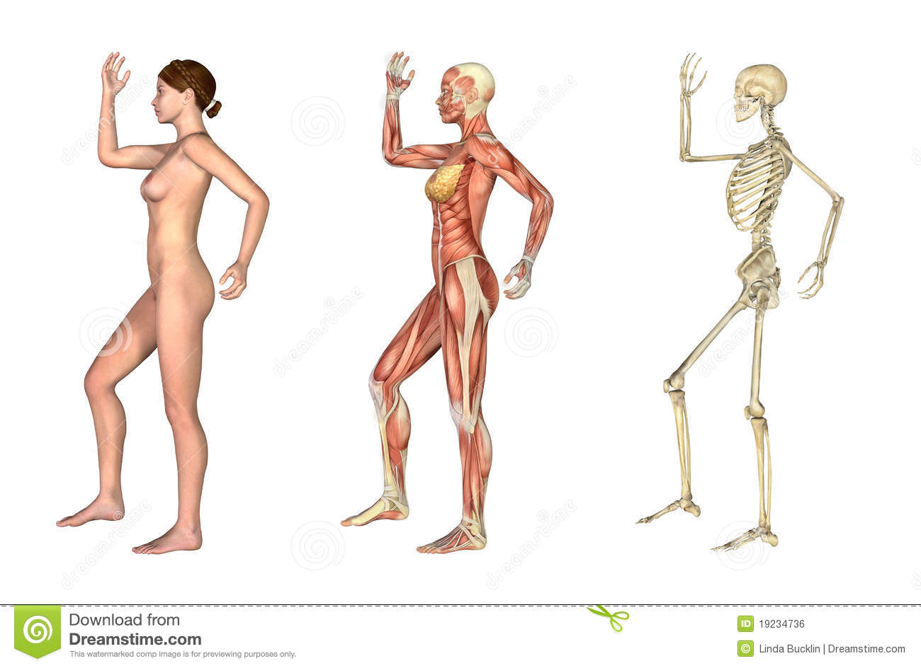 Anatomical Overlays Female With Arm And Leg Bent Royalty