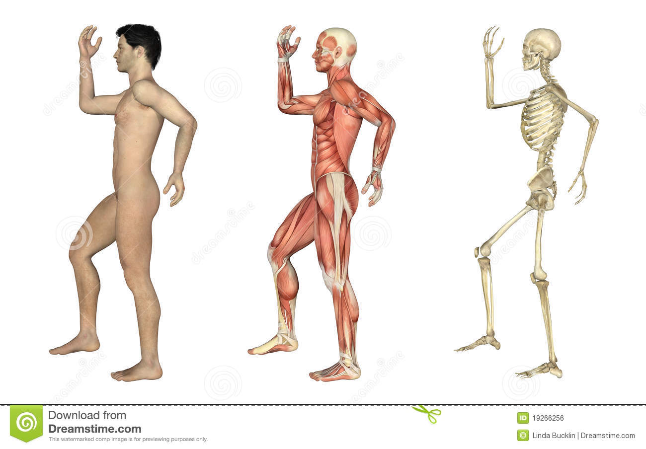 Anatomical Overlays Male With Arm And Leg Bent Stock Illustration