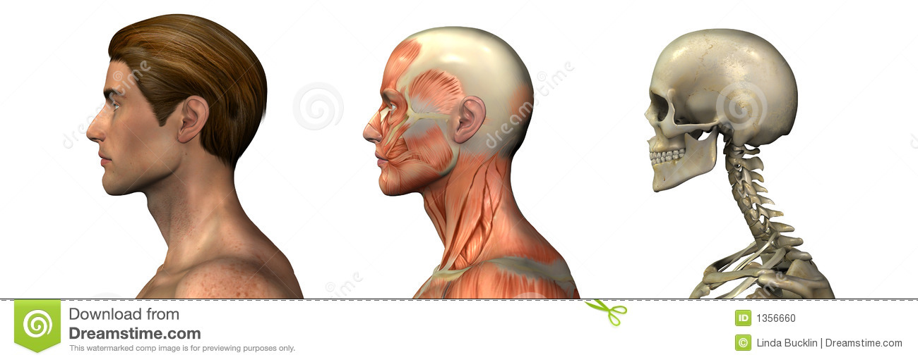 Anatomical Overlays Male Head And Shoulders Profile Stock