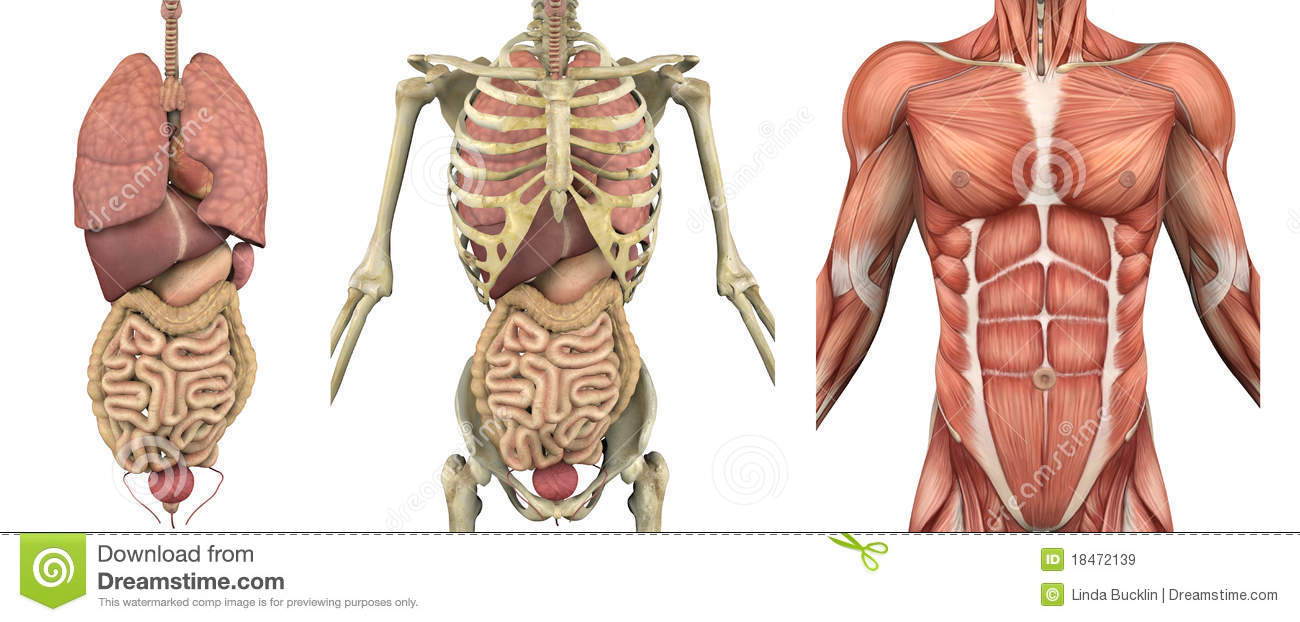 Anatomical Overlays Male Torso With Organs Stock Illustration