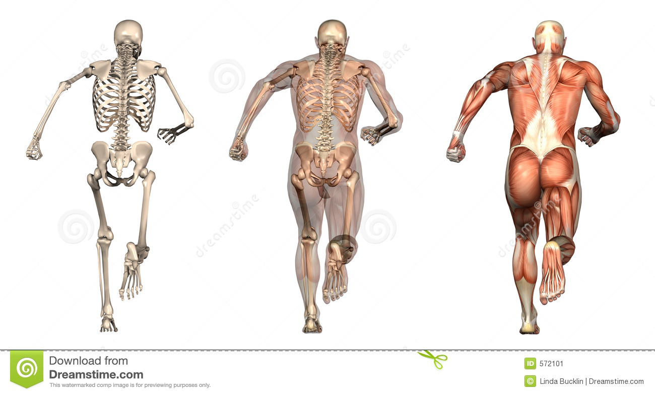 Anatomical Overlays - Man Running - Back View Stock Illustration ...