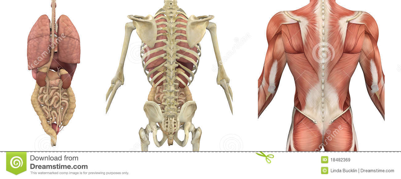 Anatomical Overlays Of The Torso - Backside Stock Illustration ...