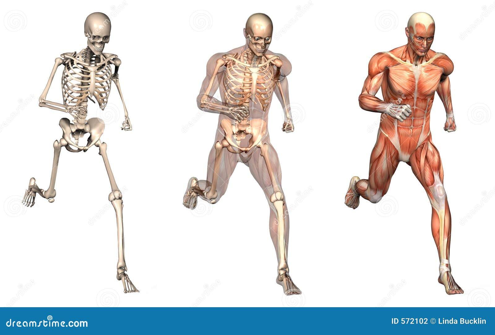 Anatomical samkopieringar för främre man som kör sikt