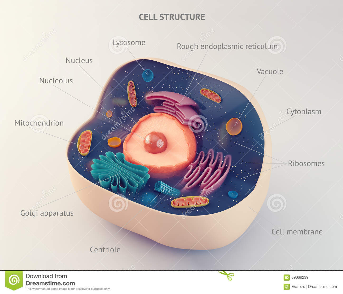 Anatomical Structure Of Animal Cell Stock Illustration