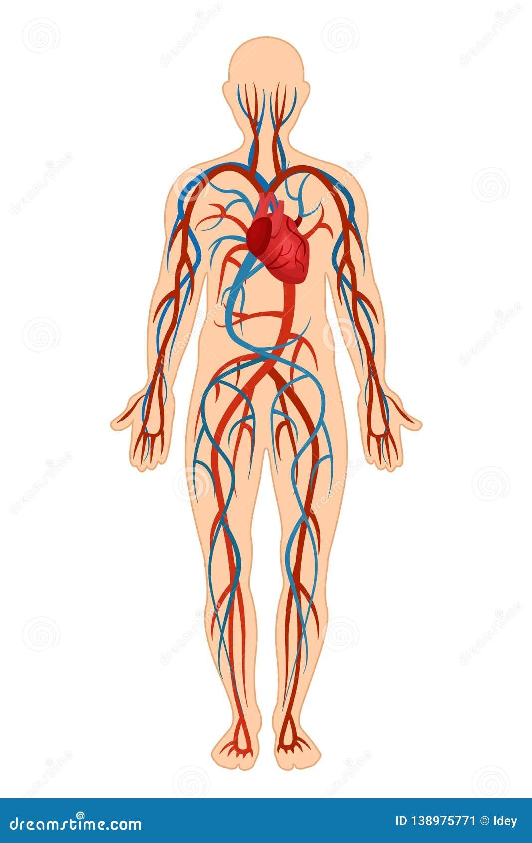 Circulatory System Vector Illustration