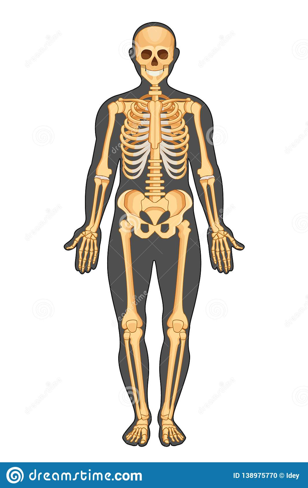 Anatomical Structure Of Human Body Presented In Of Skeleton Stock
