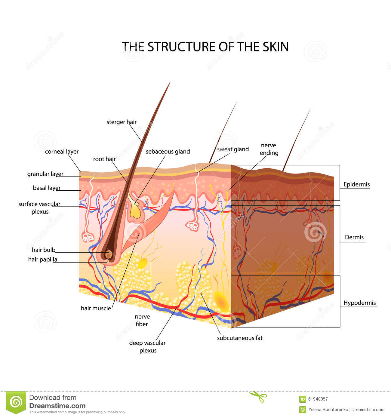 The Anatomical Structure Of The Skin Stock Vector