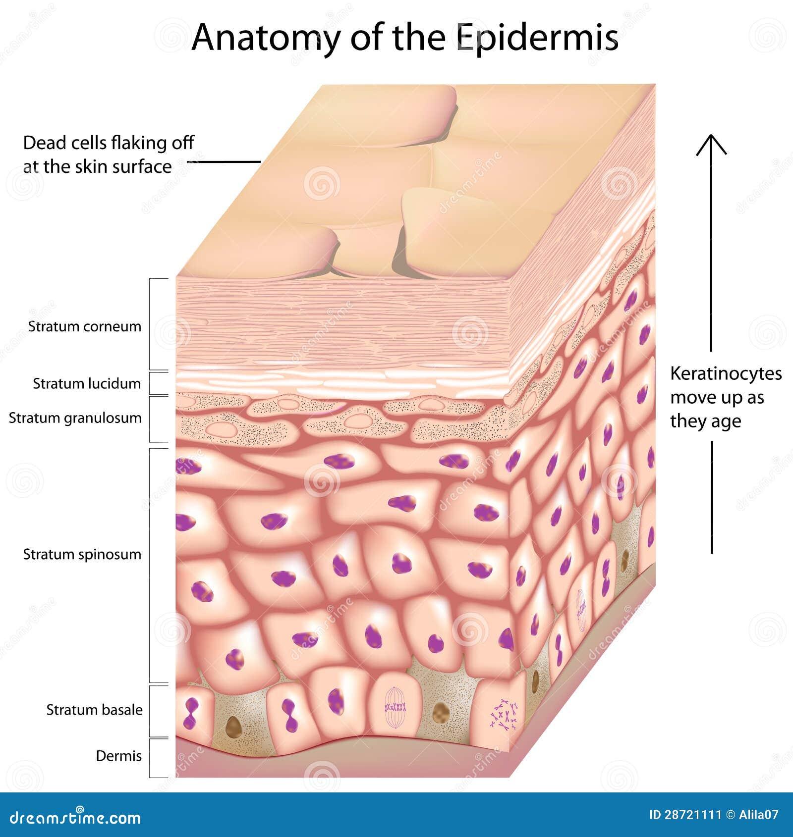 Anatomie 3d der Epidermis vektor abbildung. Illustration von zelle ...
