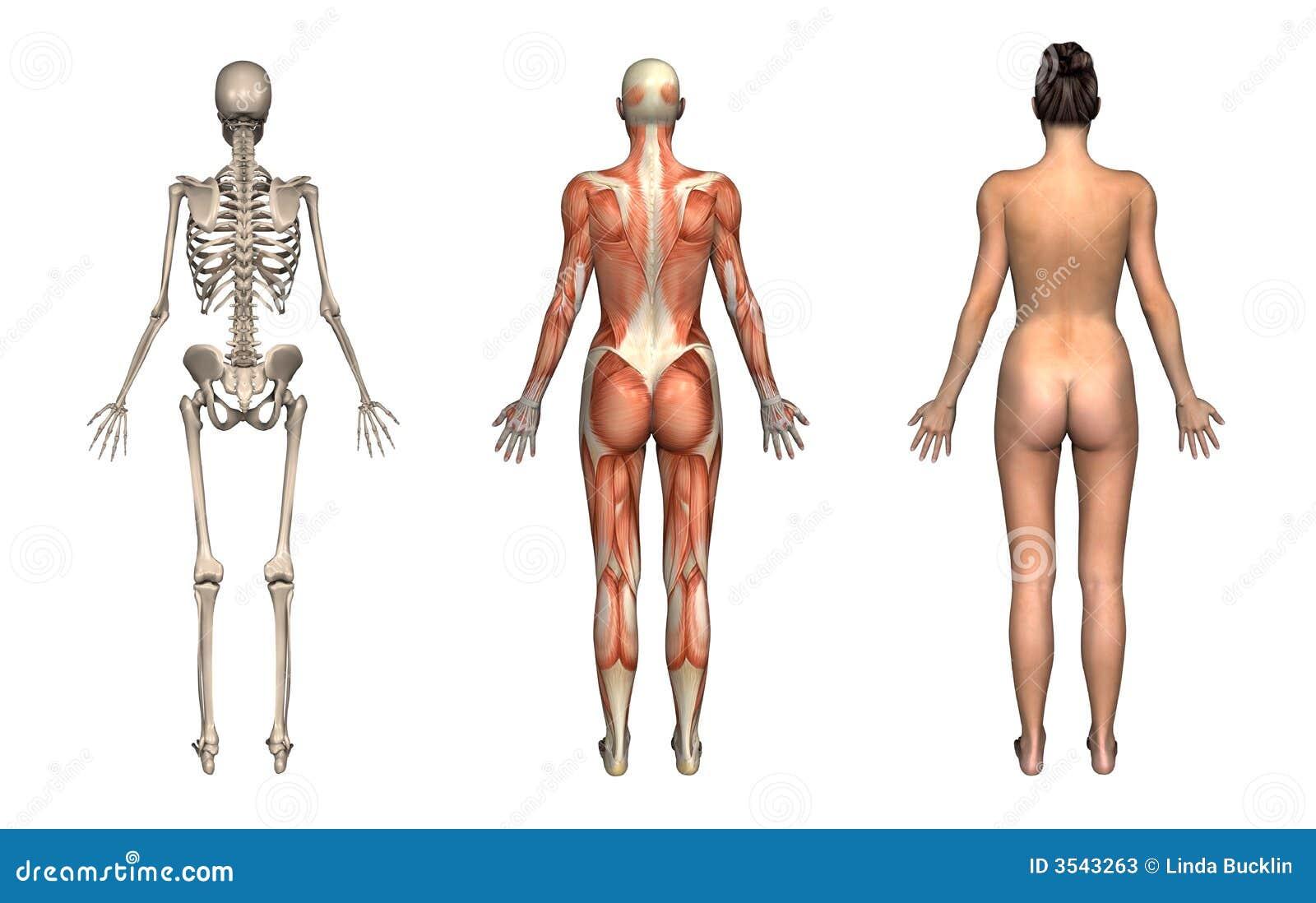 Niedlich Bild Der Körperanatomie Weiblich Zeitgenössisch ...