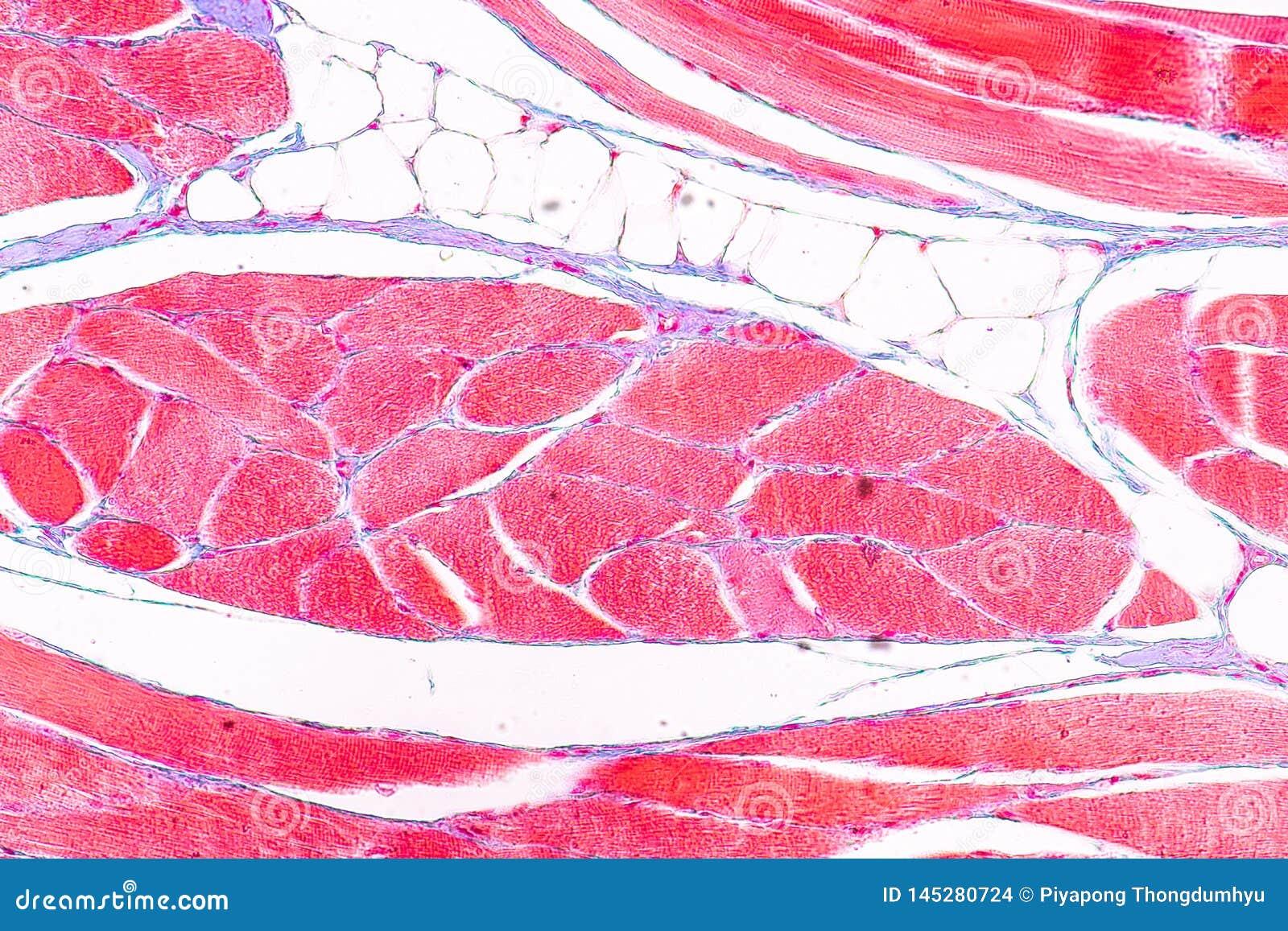 Anatomie d éducation et physiologie de langue sous le microscopique