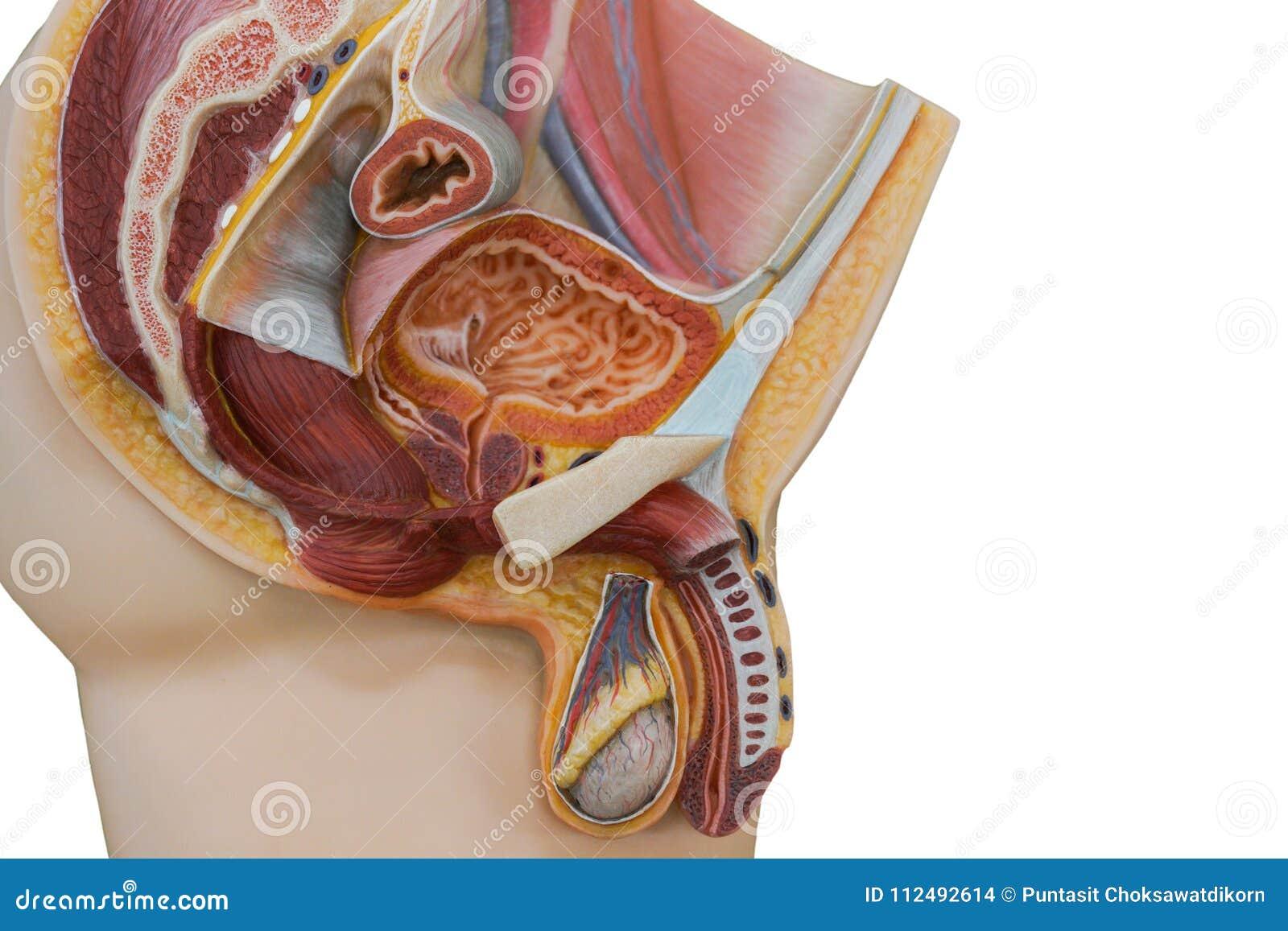 penisul masculin la microscop)