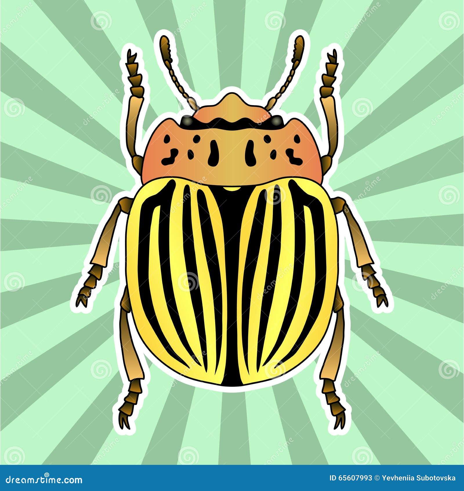 Anatomie D'insecte Scarabée De Pomme De Terre Du Colorado D