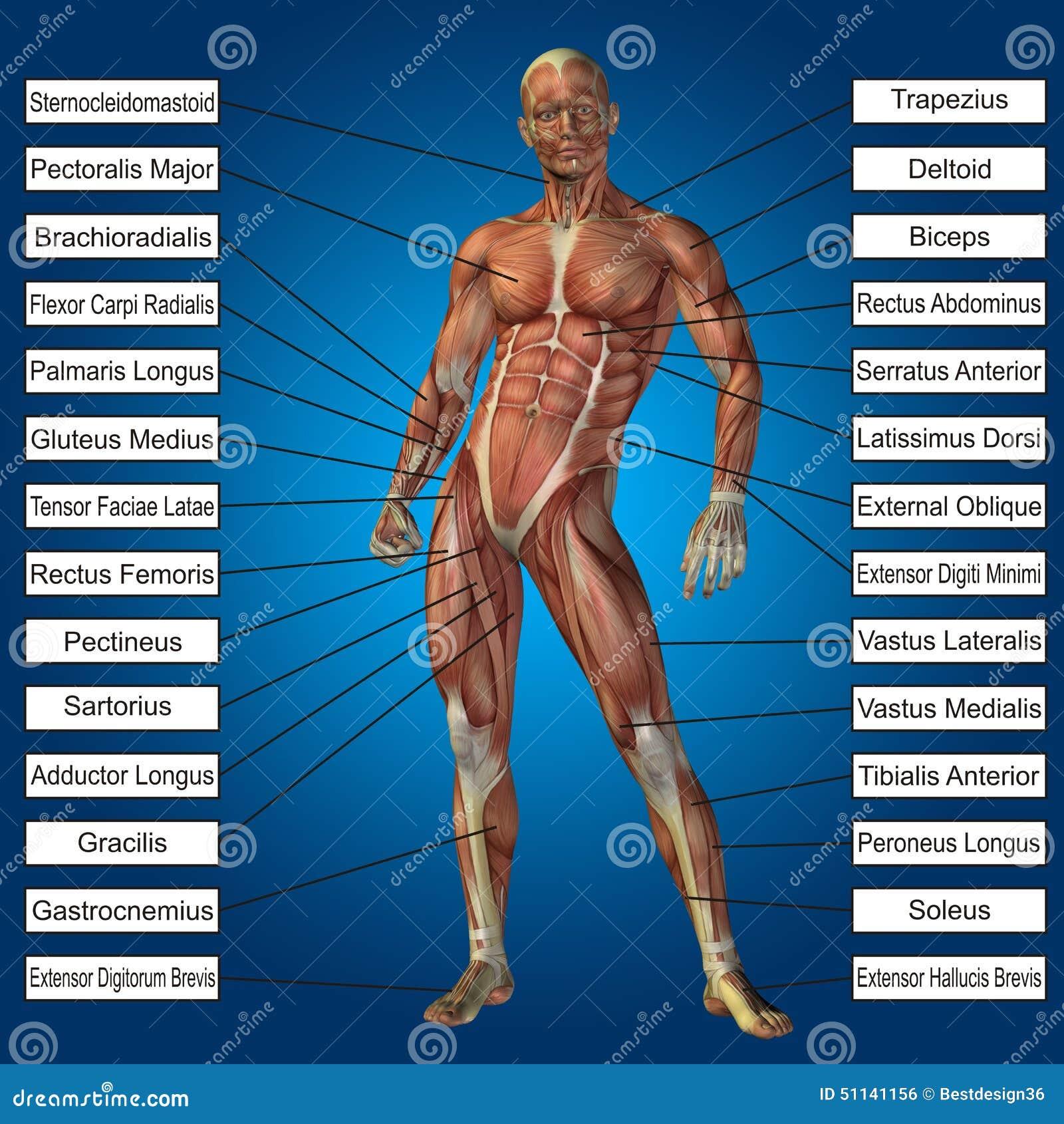 Schön Anatomie Körpermuskulatur Fotos - Physiologie Von Menschlichen ...
