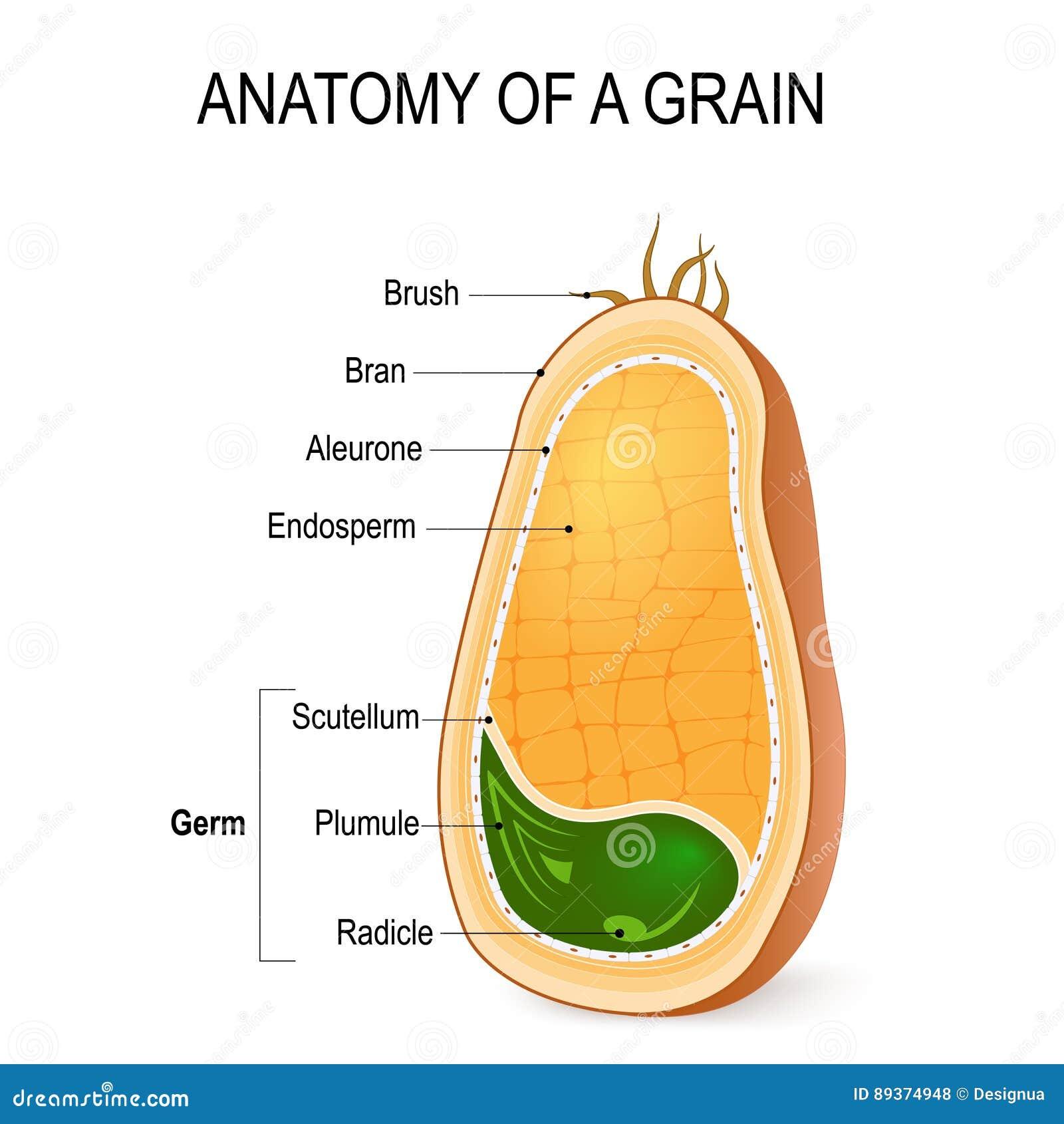 Anatomie d 39 un grain l 39 int rieur de la graine for Graine d interieur