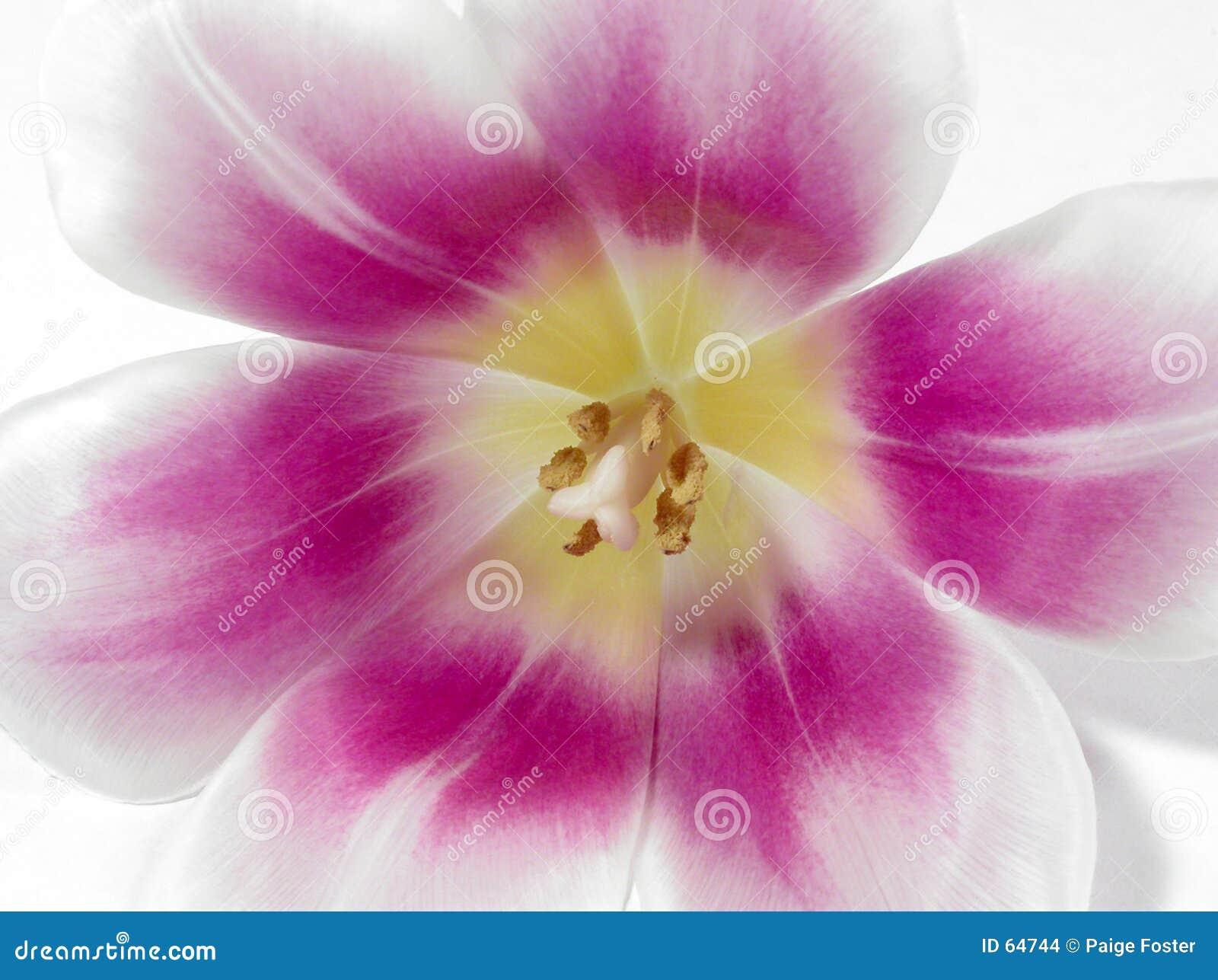 Anatomie d une tulipe