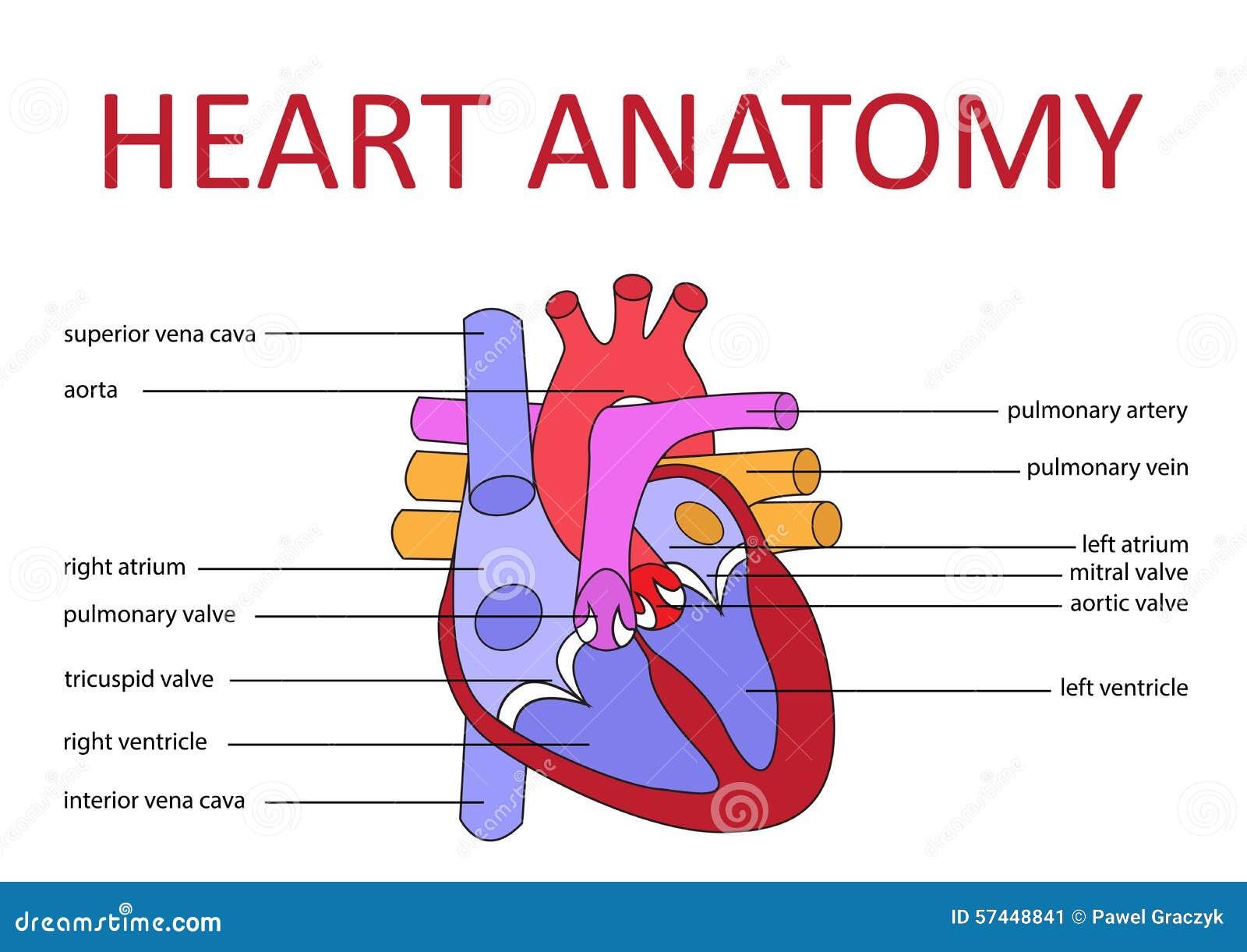 anatomie de coeur illustration de vecteur illustration du sant 57448841. Black Bedroom Furniture Sets. Home Design Ideas