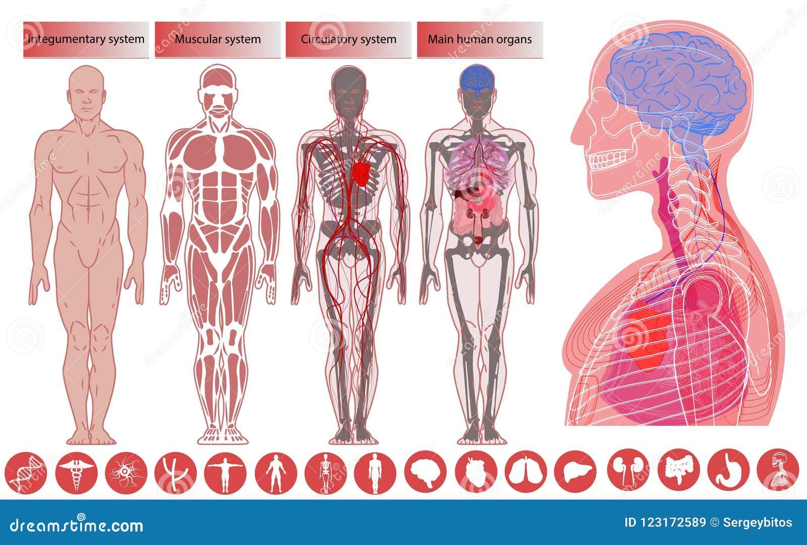 Anatomie de corps humain, éducation médicale