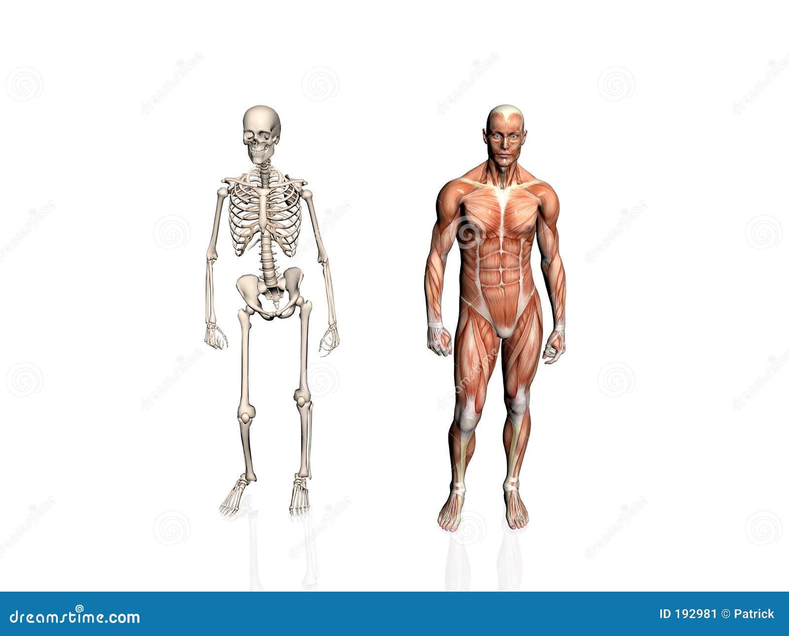 Anatomie de l homme avec le squelette.