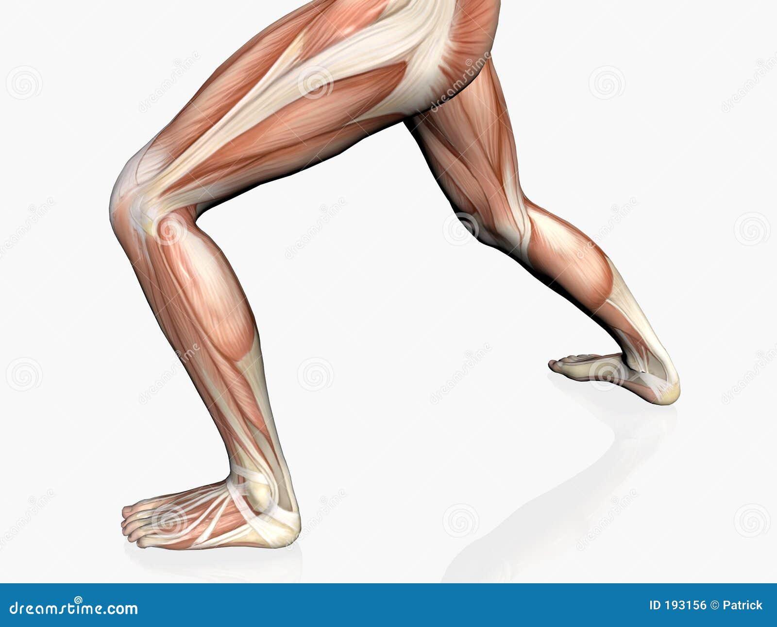 Anatomie de l homme, homme musculaire.
