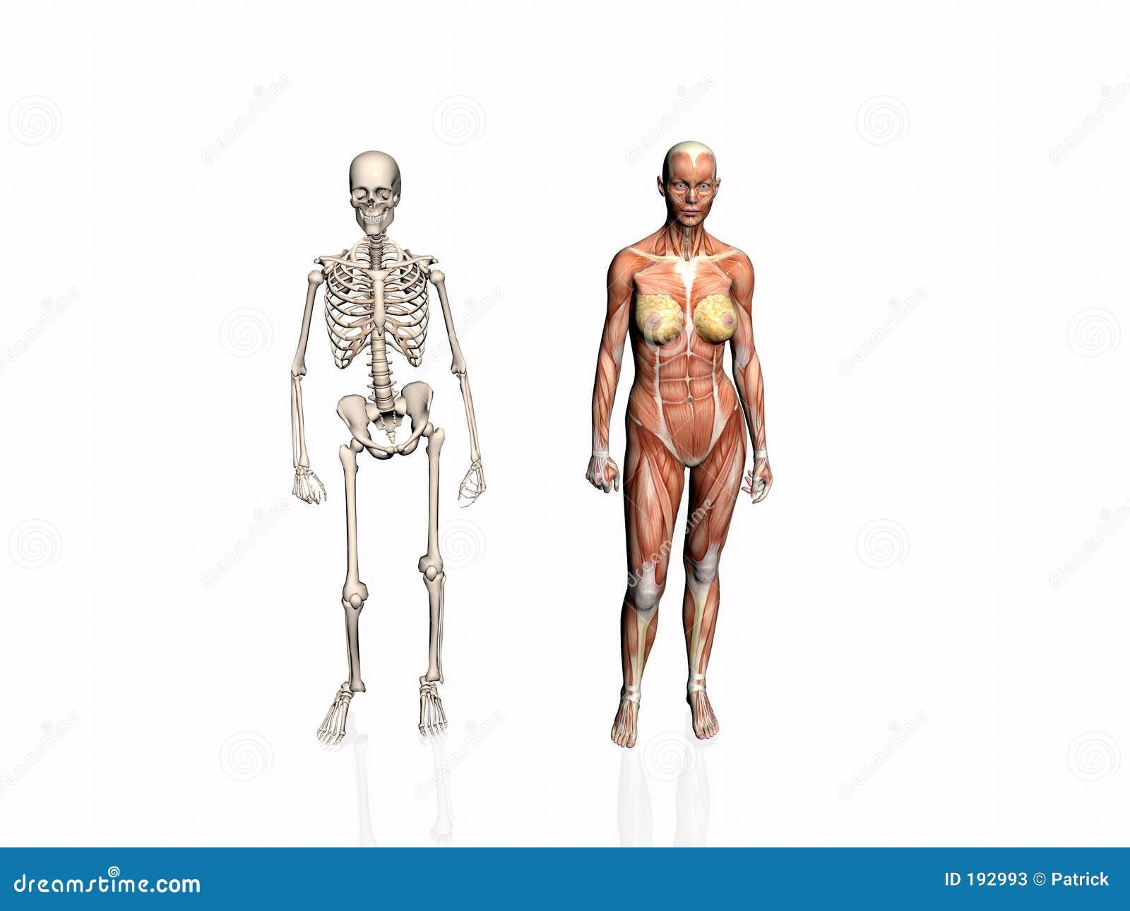 Anatomie de la femme avec le squelette.