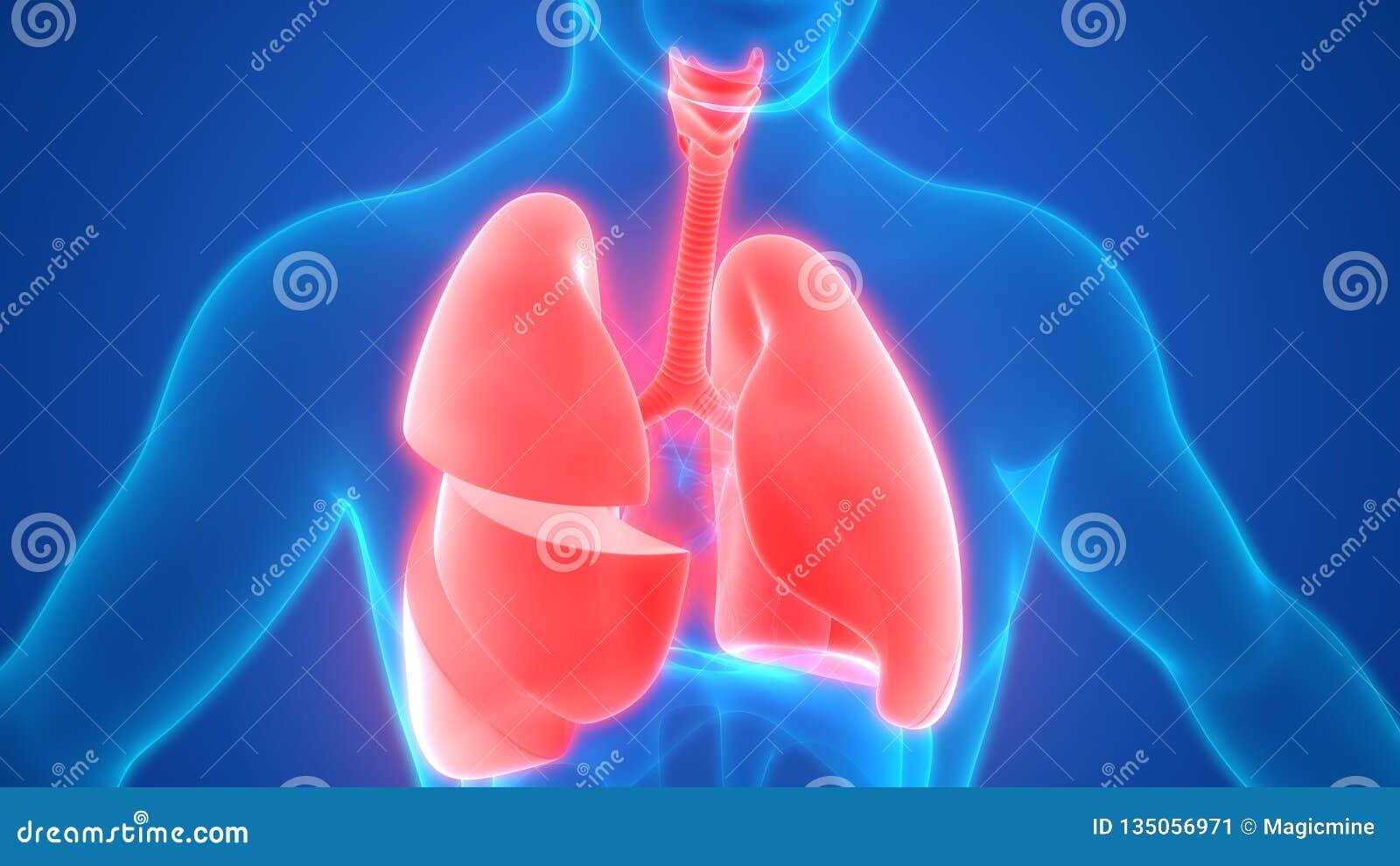 Anatomie De Poumons D Appareil Respiratoire D Organes De Corps